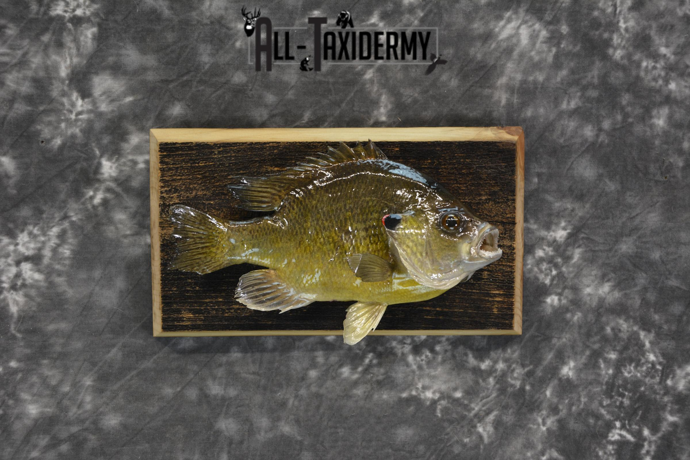 Bluegill taxidermy fish mount for sale SKU 1852