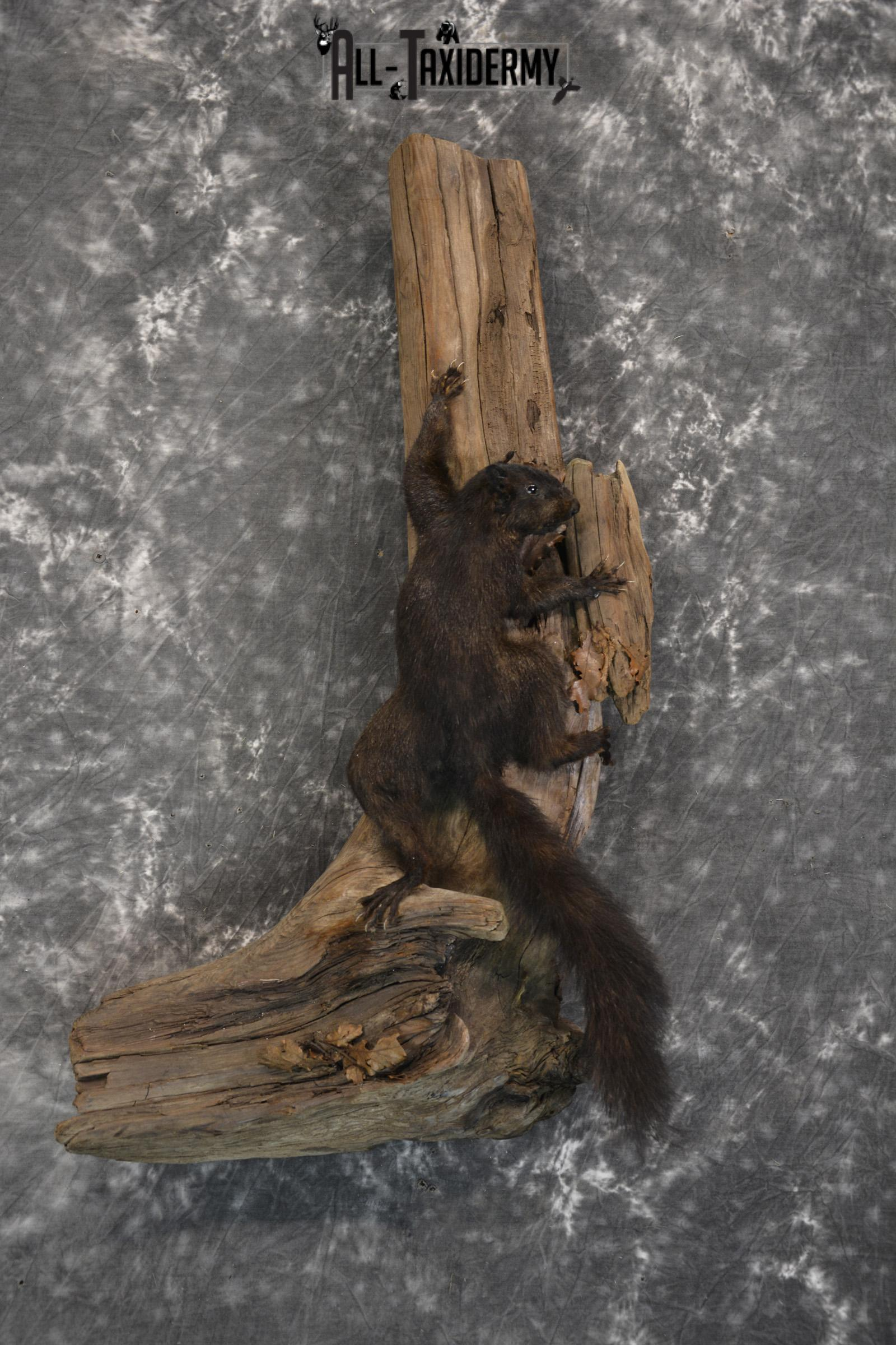 Black Squirrel Taxidermy mount for sale SKU 1831