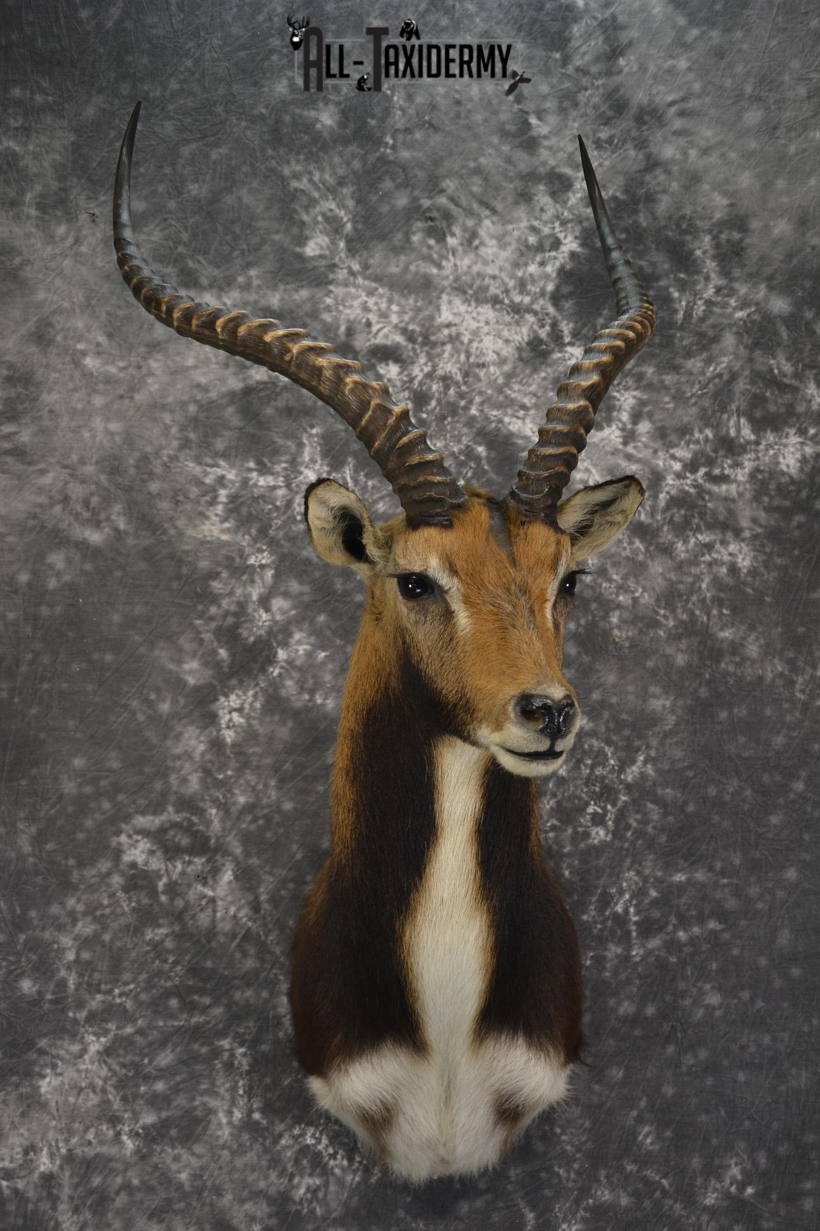 African Black Lechwe Zambia taxidermy shoulder mount for sale SKU 1835