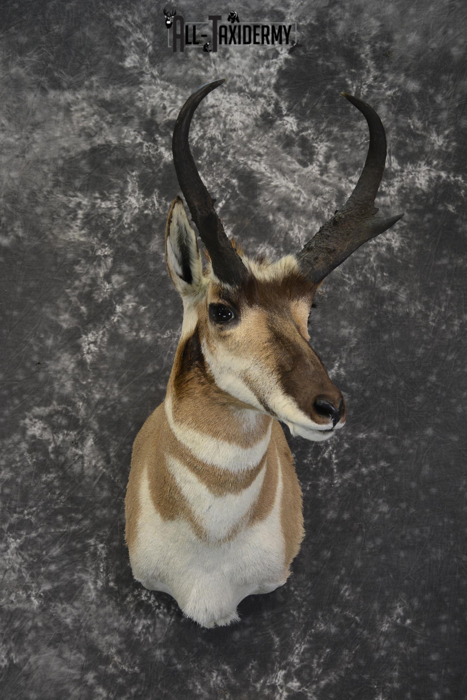 Pronghorn Antelope Taxidermy shoulder mount for sale SKU 1830