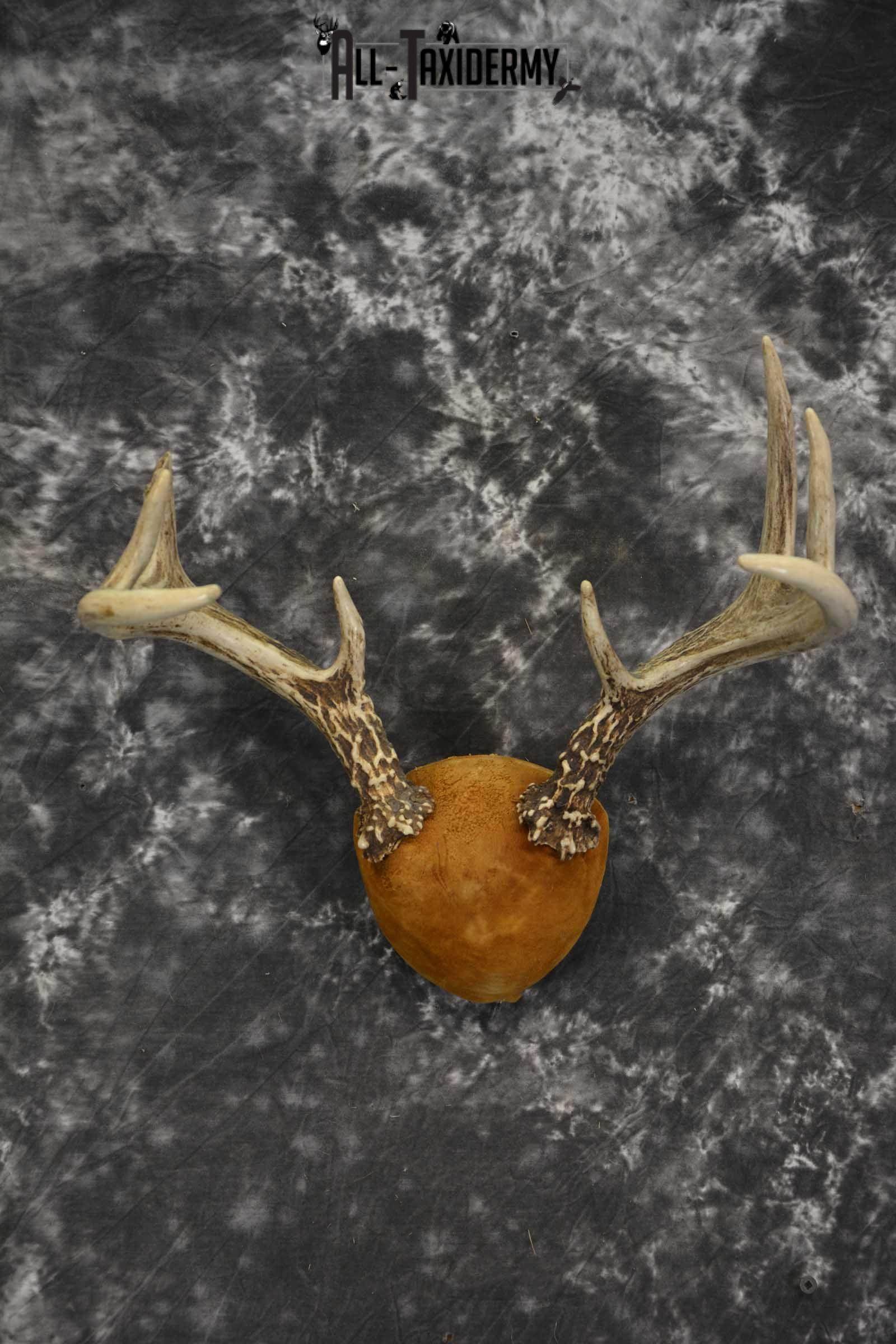 Whitetail Antler taxidermy plaque for sale SKU 1843.3