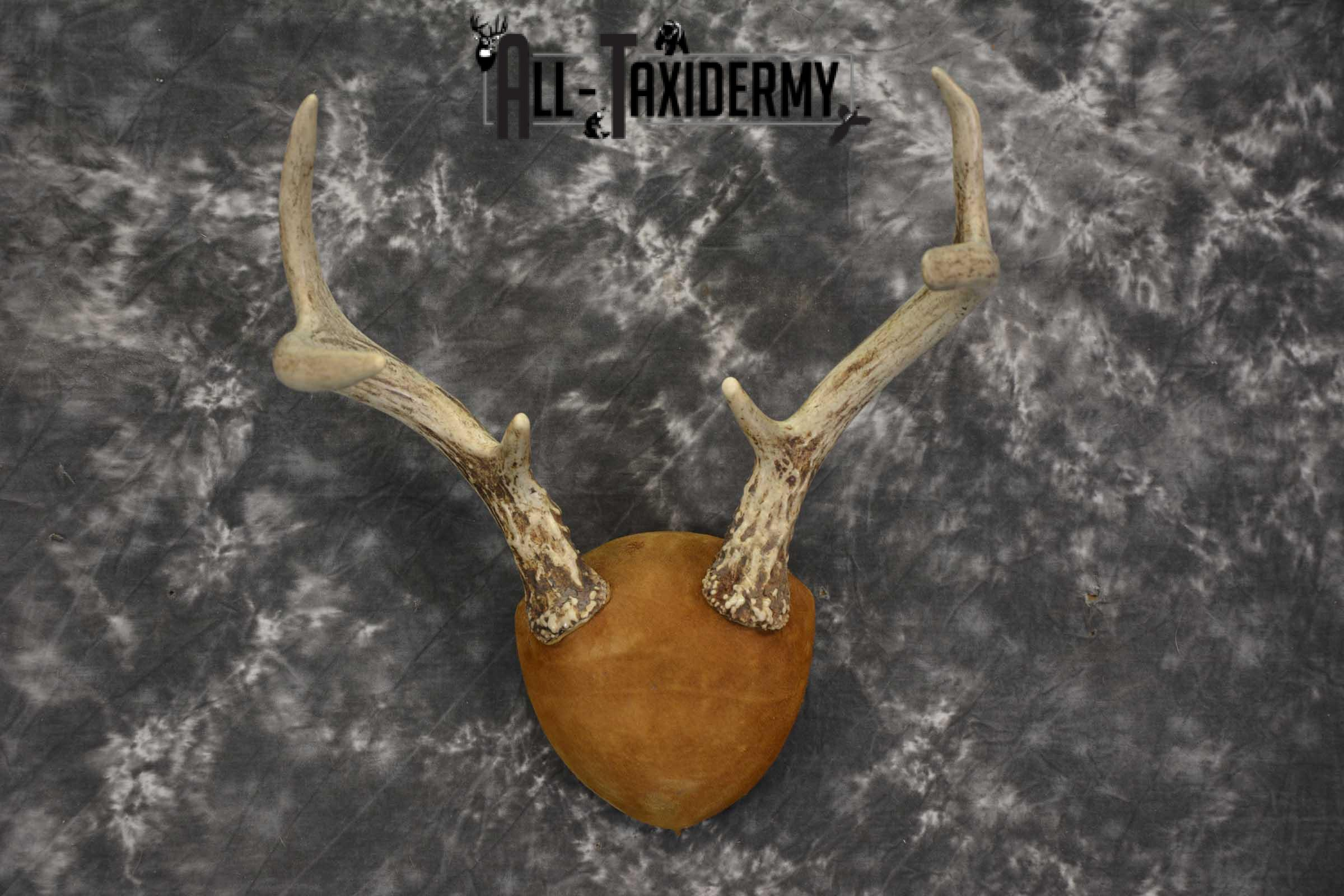 Whitetail antler taxidermy plaque for sale SKU 1843.5