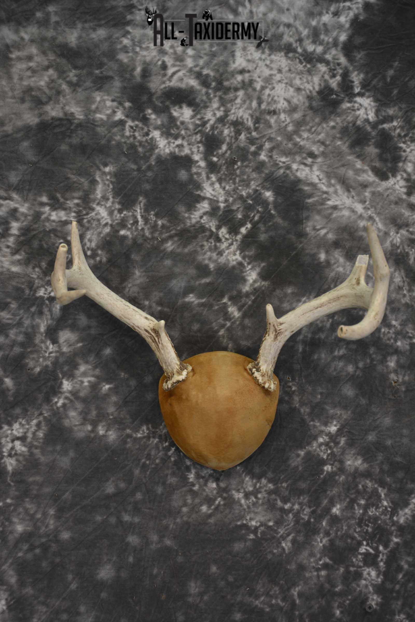 Whitetail Antler taxidermy plaque for sale SKU 1843.4