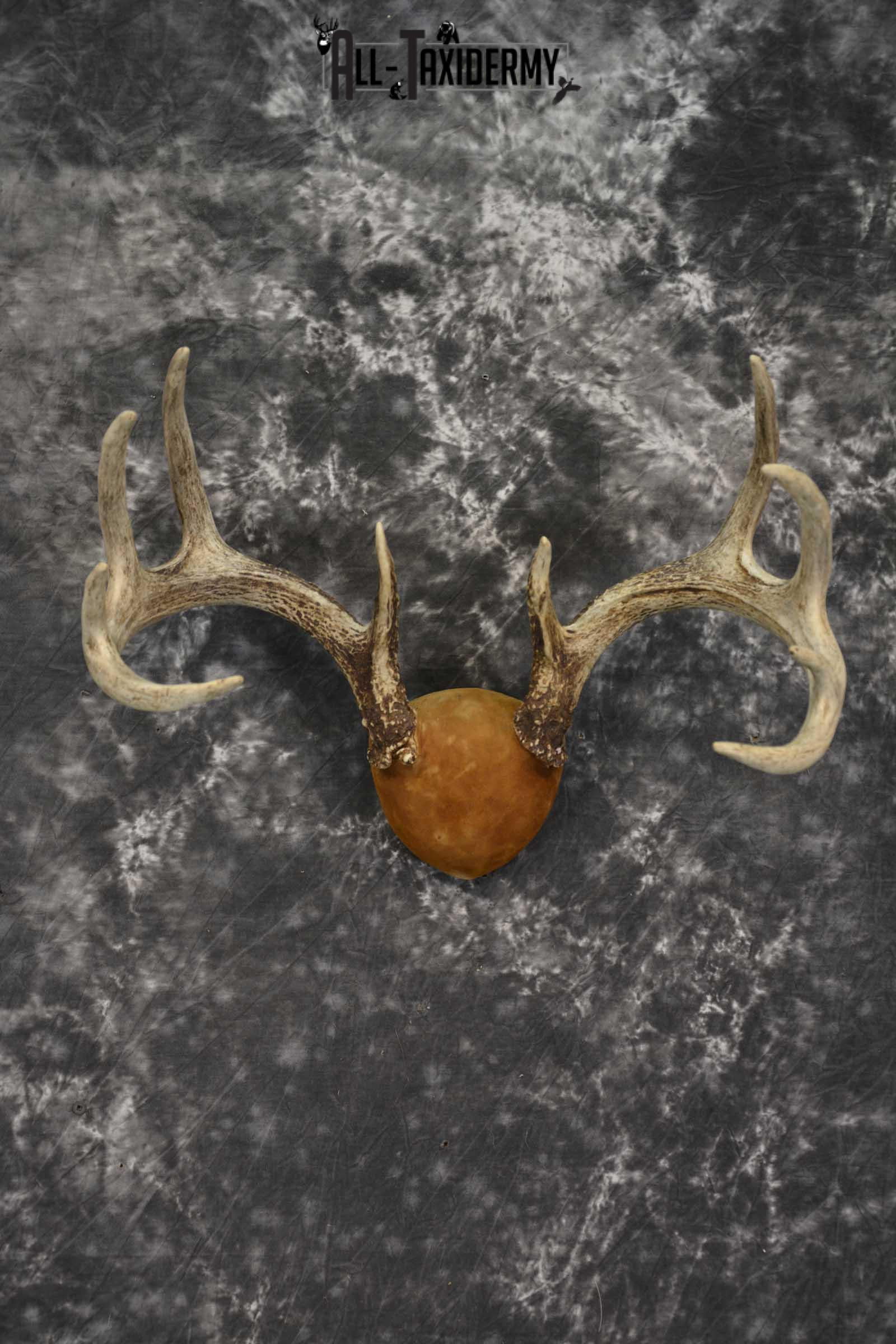 Whitetail Antler taxidermy plaque for sale SKU 1843.2