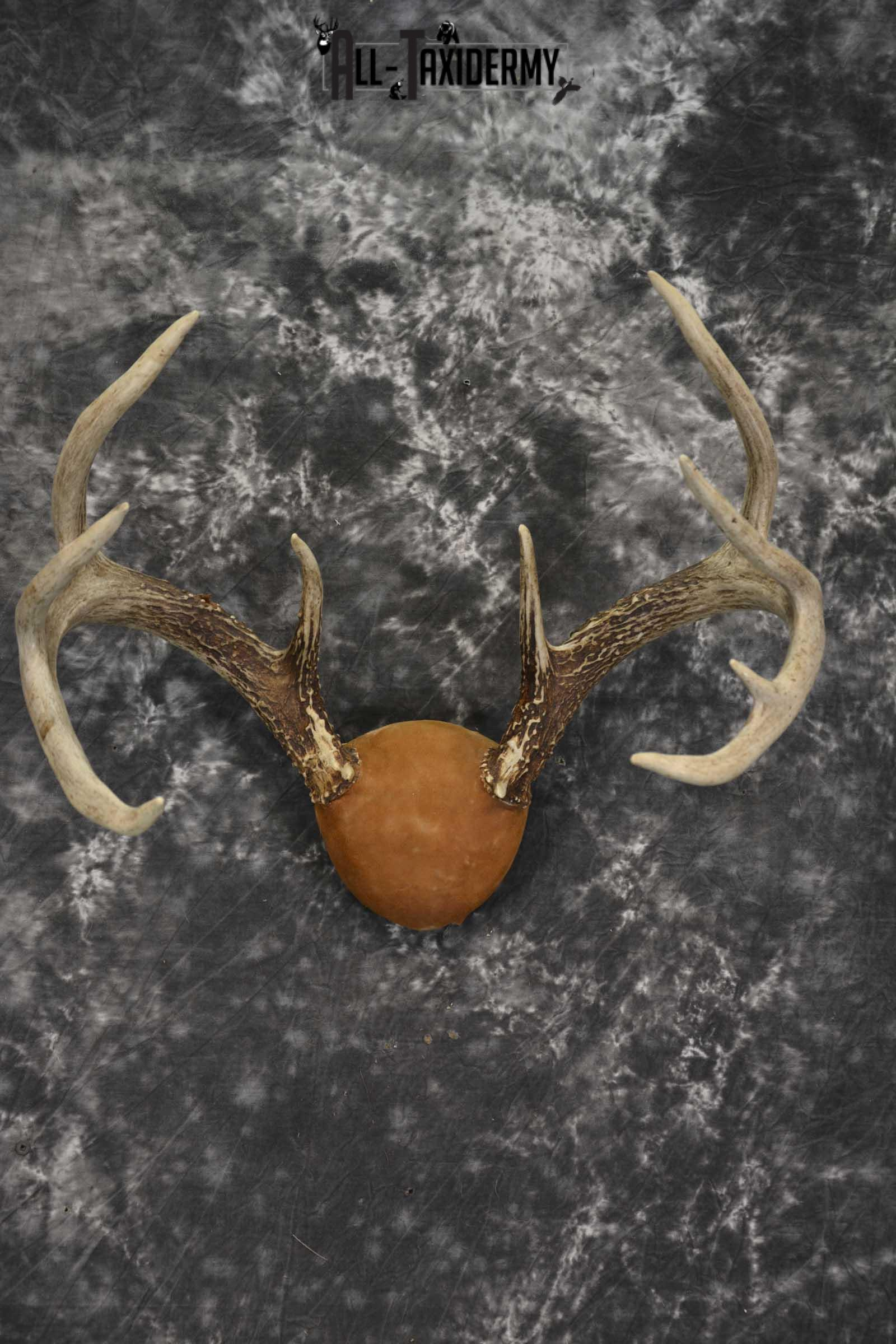 Whitetail Antler taxidermy plaque for sale SKU 1843.1