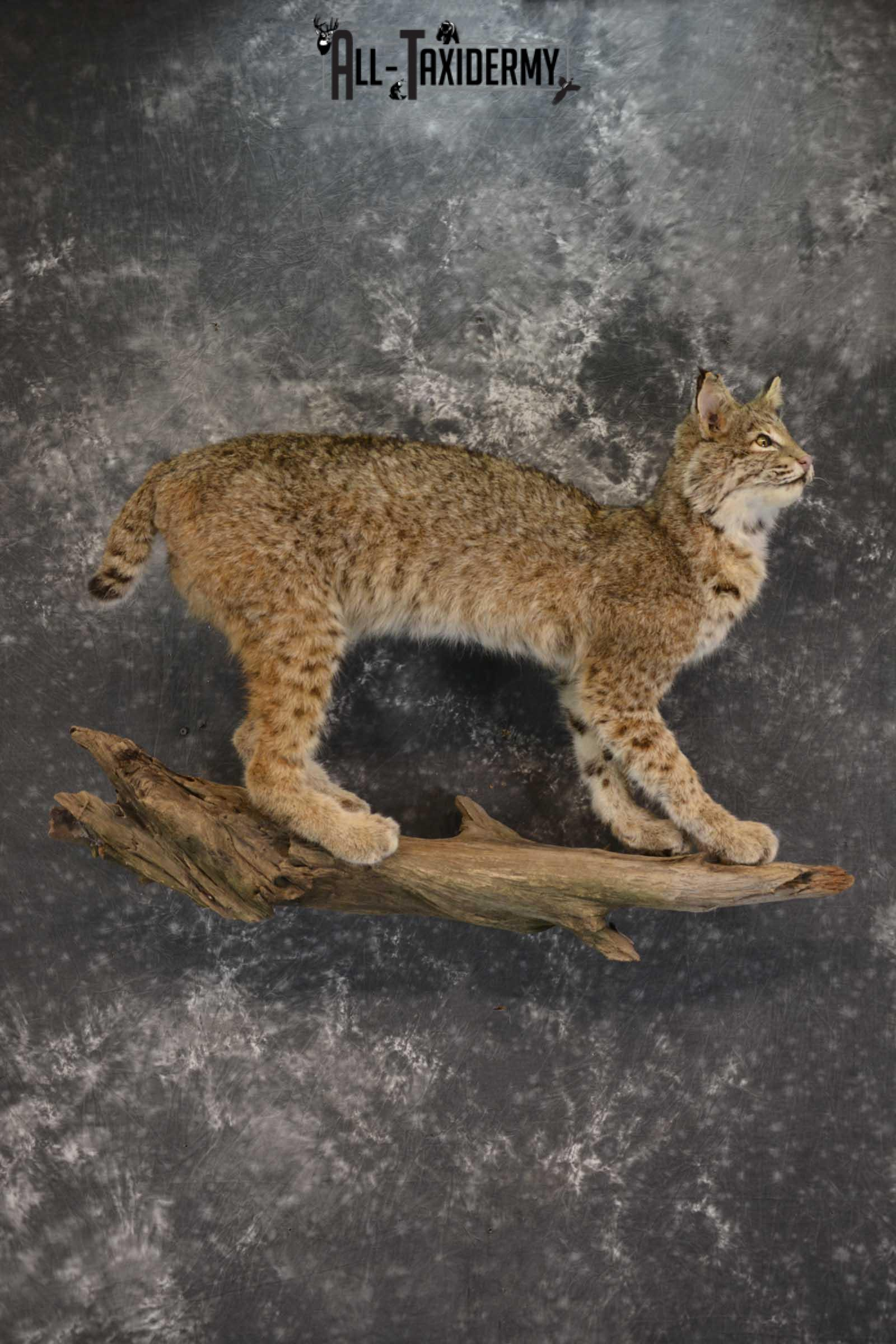Full Body Bobcat taxidermy mount for sale SKU 1854