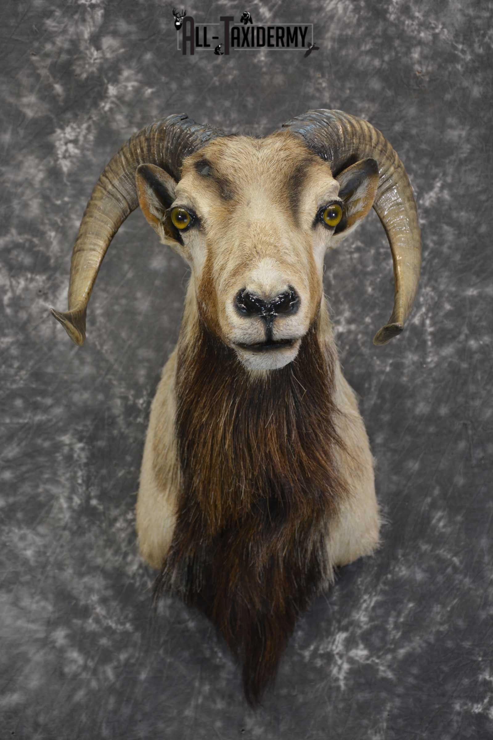 Corsican Ram taxidermy mount for sale SKU 1855