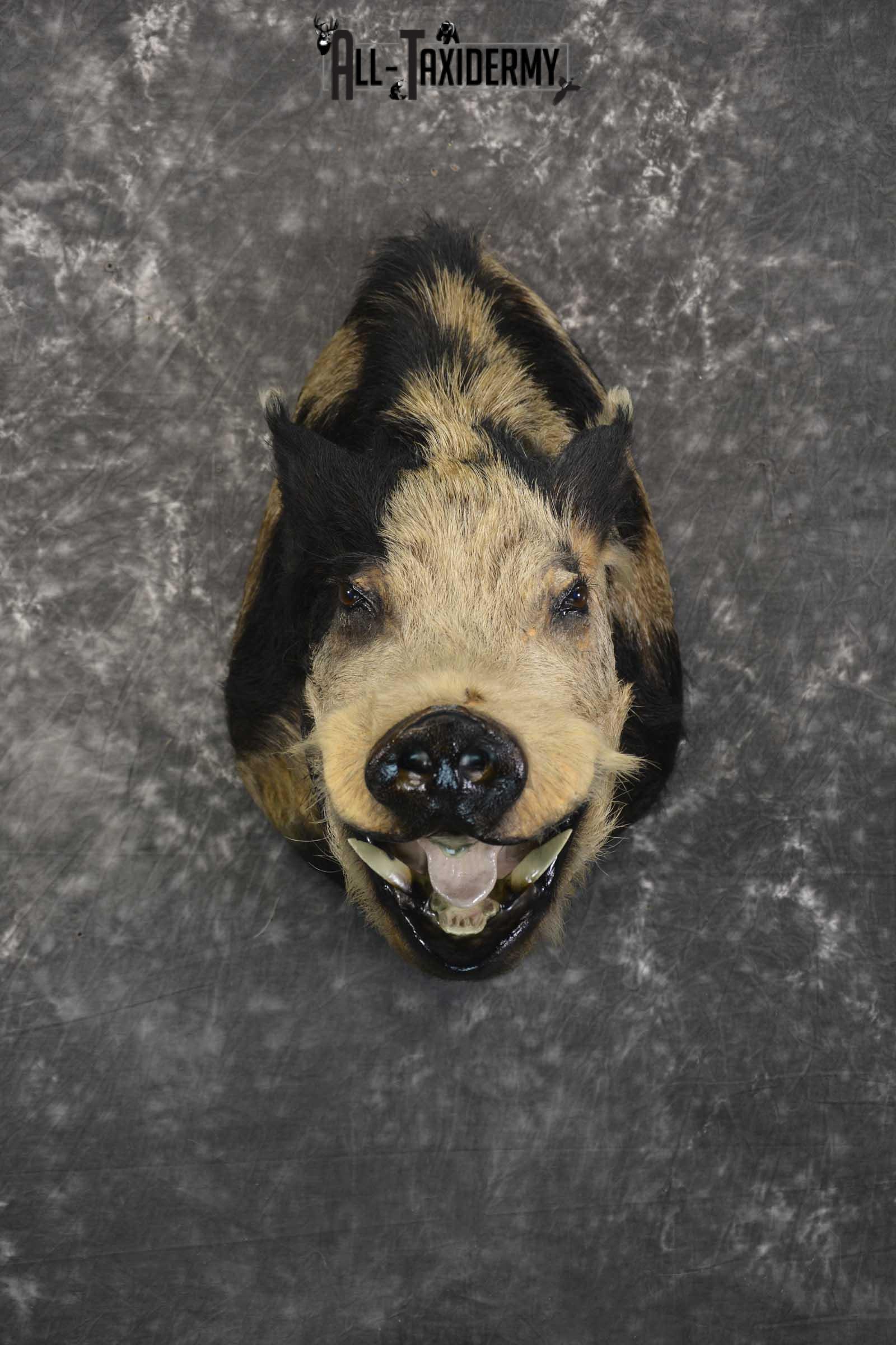 Wild Spotted Hog taxidermy shoulder mount for sale SKU 1861