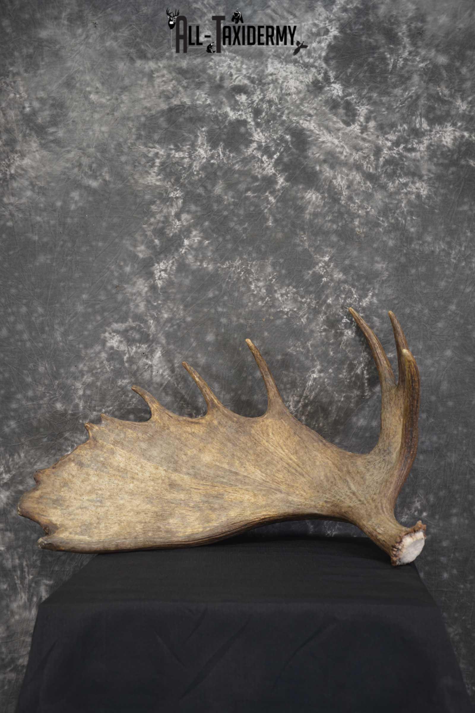 Single Moose Shed Taxidermy for sale SKU 1845