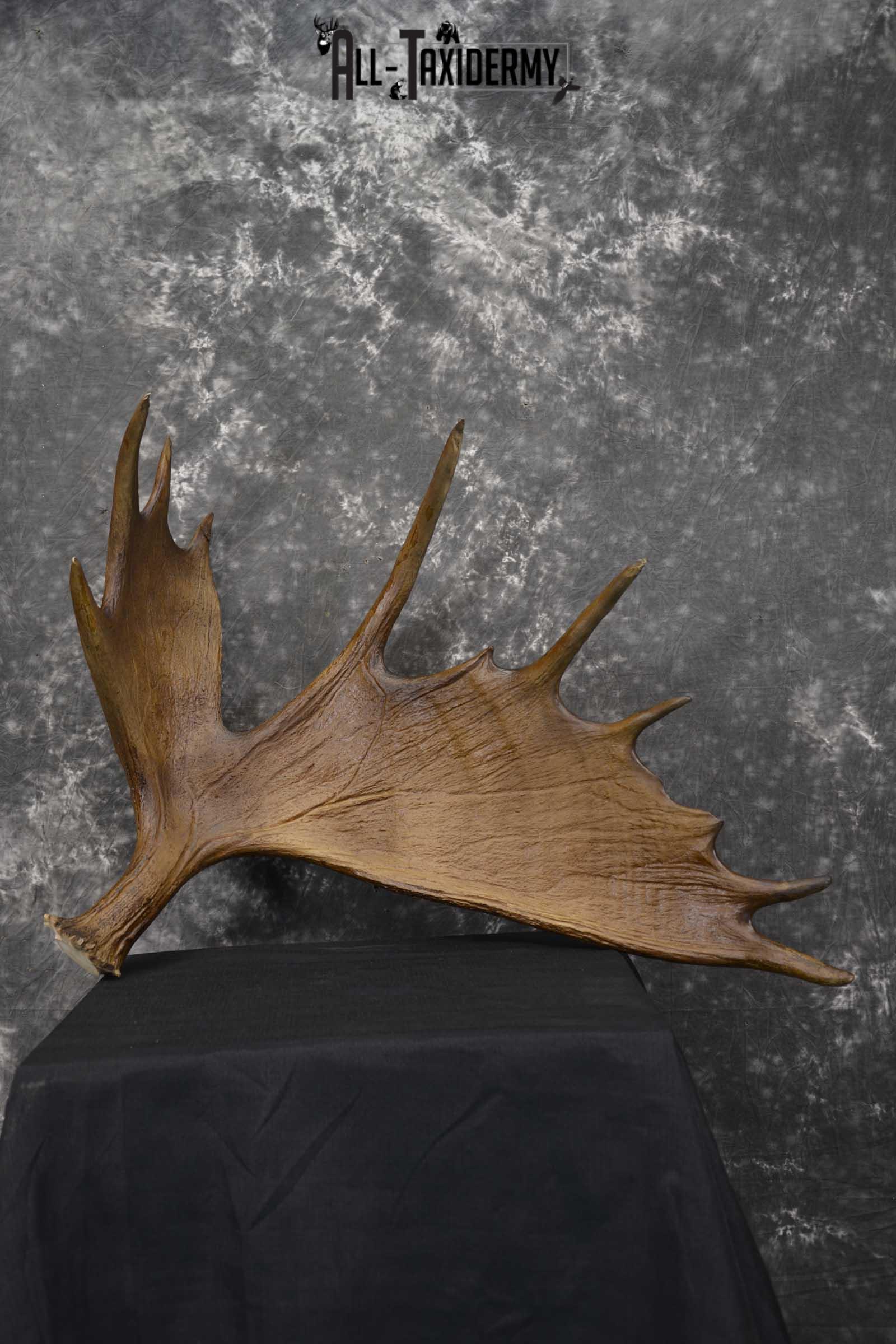 Moose Antler Cut Skull cap taxidermy for sale SKU 1844.2