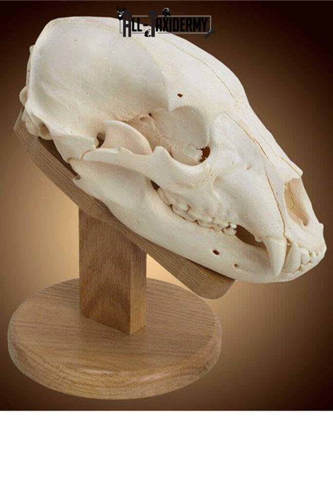 Professional Skull Cleaning Services