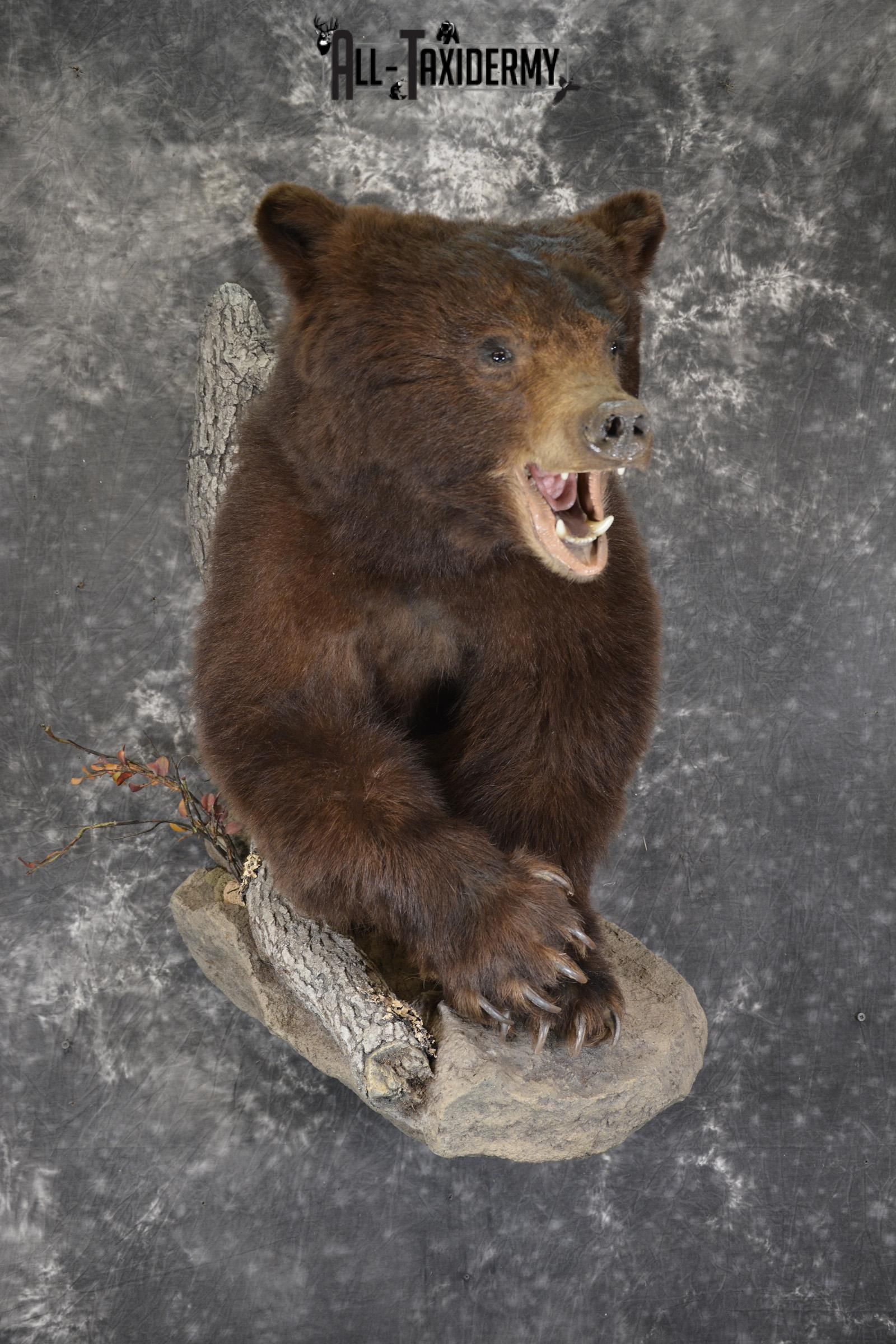Brown Phase Black Bear 1/2 body taxidermy mount for sale SKU 1897