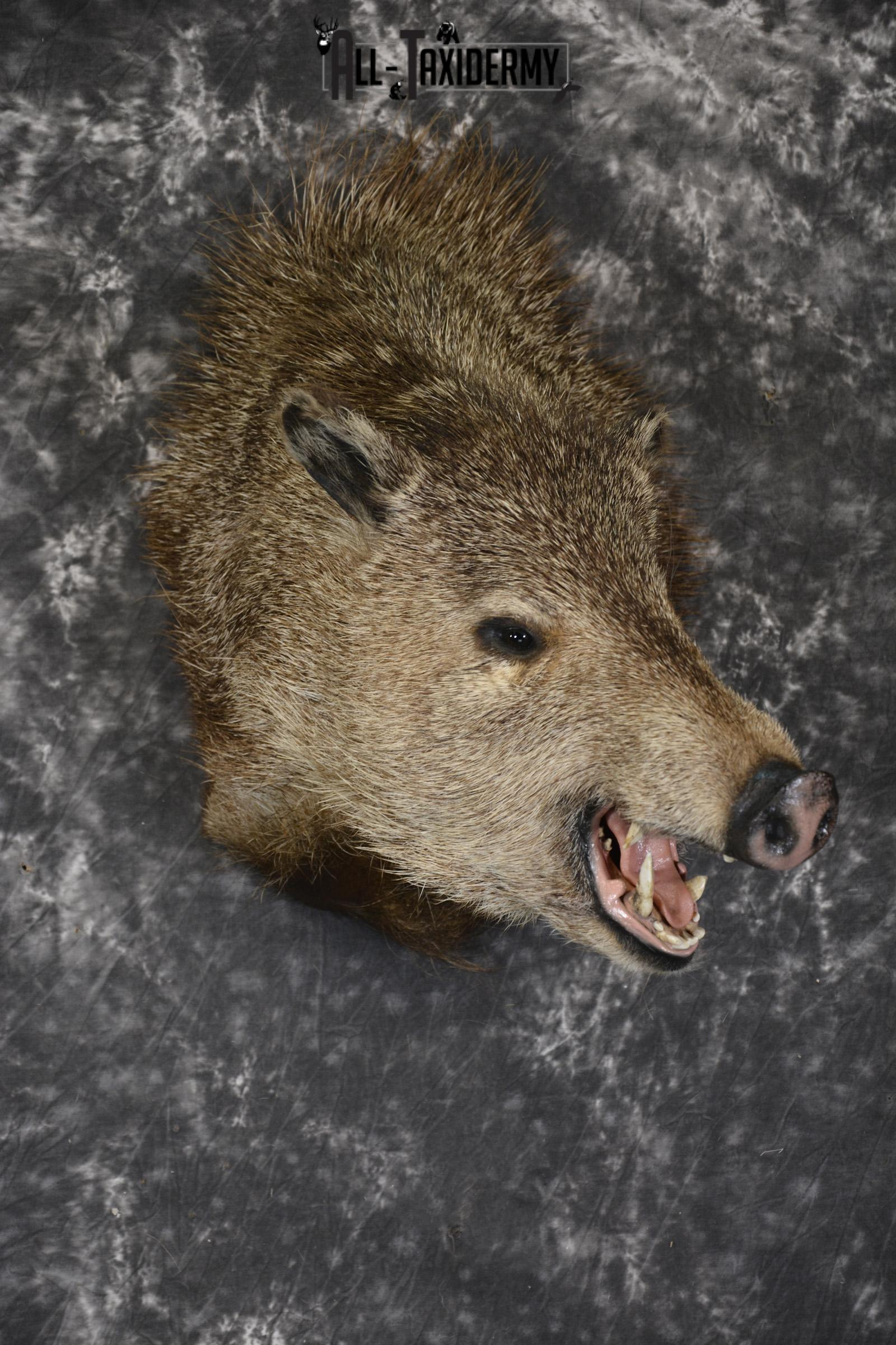 Collard Peccary Javelina taxidermy shoulder mount for sale SKU 1898