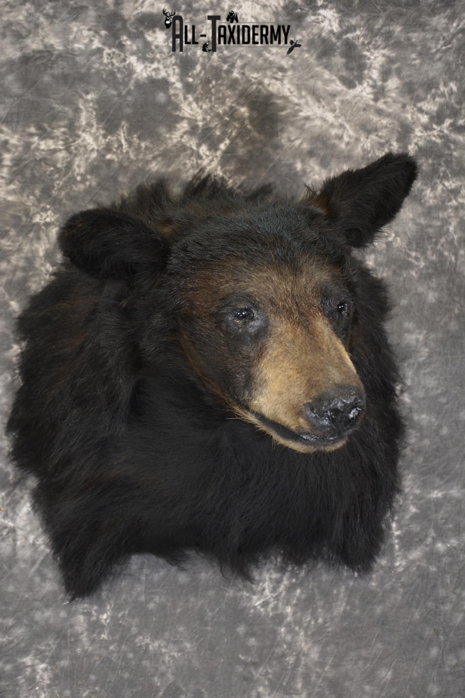 Black Bear taxidermy shoulder mount for sale SKU 1901