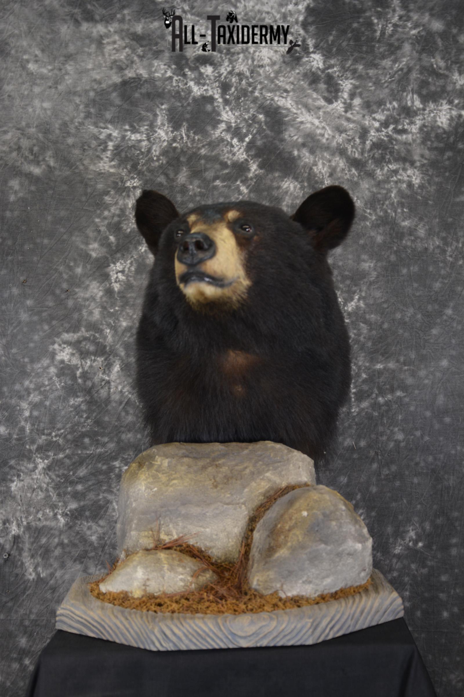Black Bear Pedestal taxidermy shoulder mount SKU 1902