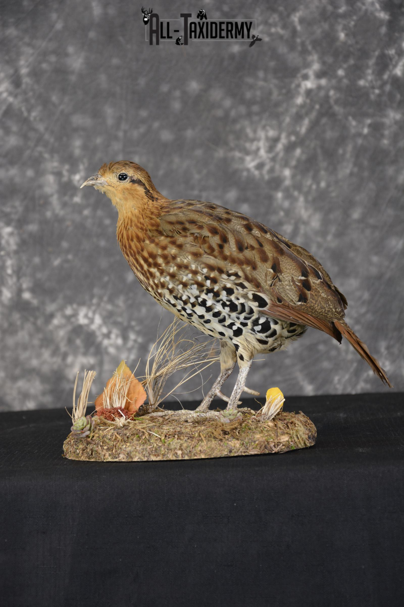 Chinese Bamboo Partridge taxidermy mount for sale SKU 1905