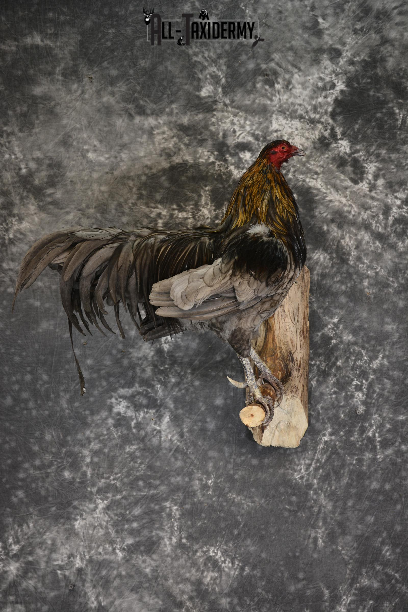 Rooster Taxidermy mount for sale SKU 1911