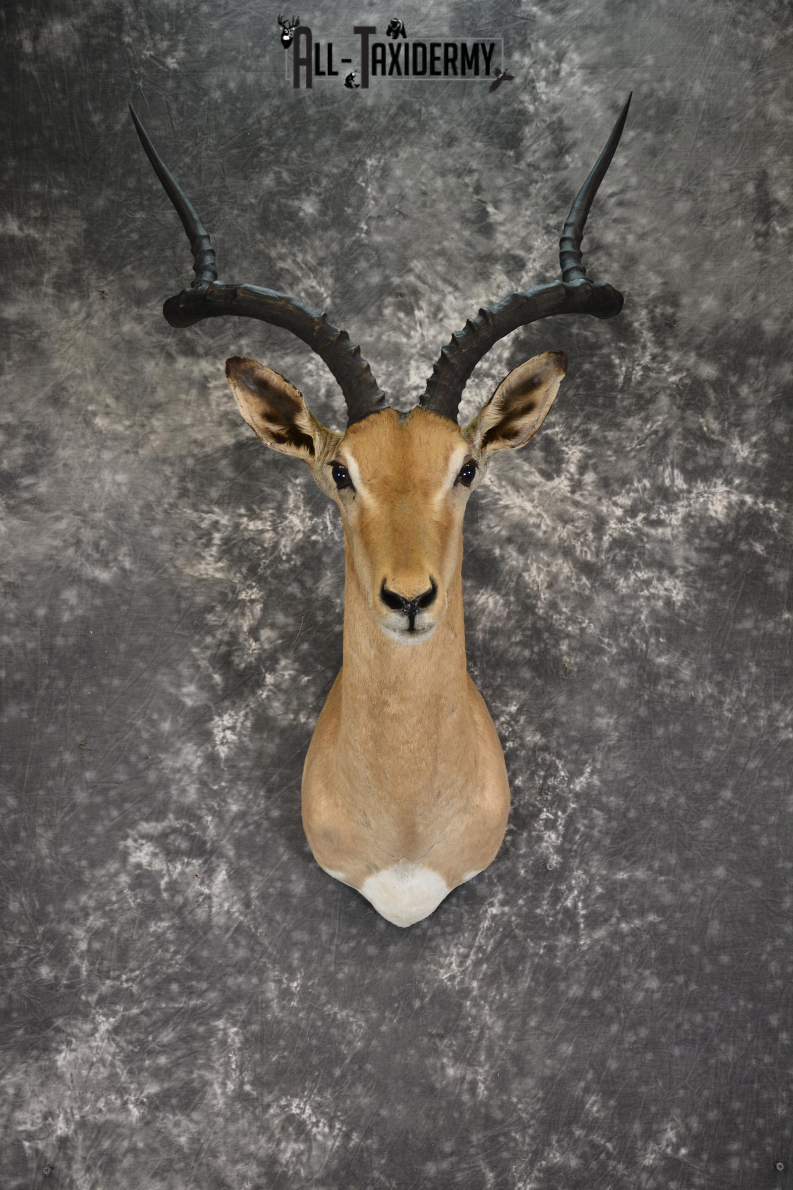 African Impala taxidermy shoulder mount for sale SKU 1919