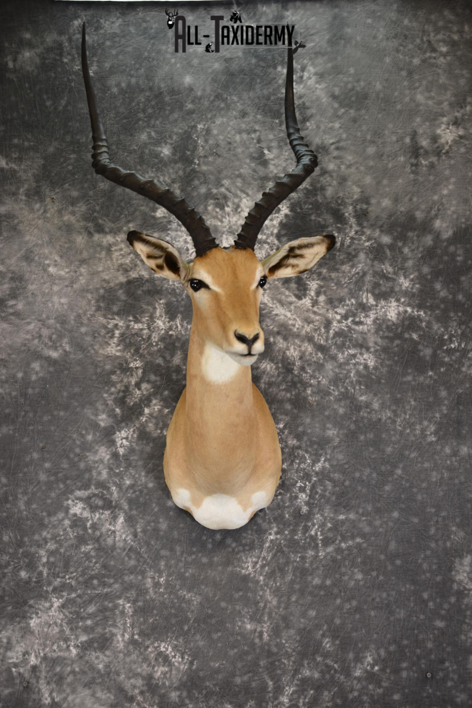 African Impala taxidermy shoulder ount for sale SKU 1921