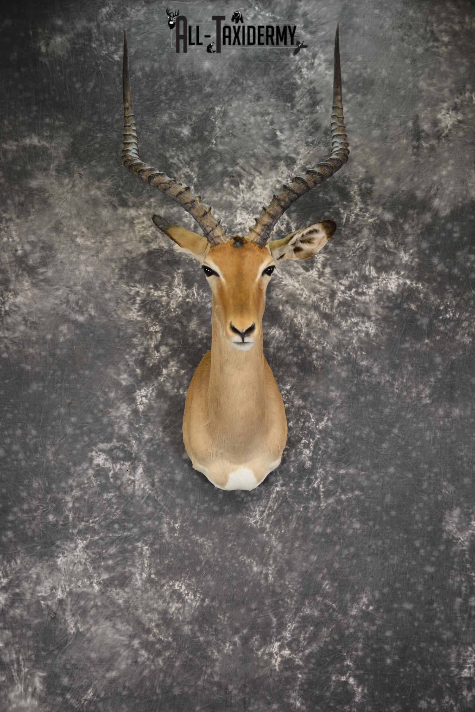 African Impala taxidermy shoulder mount for sale SKU 1922