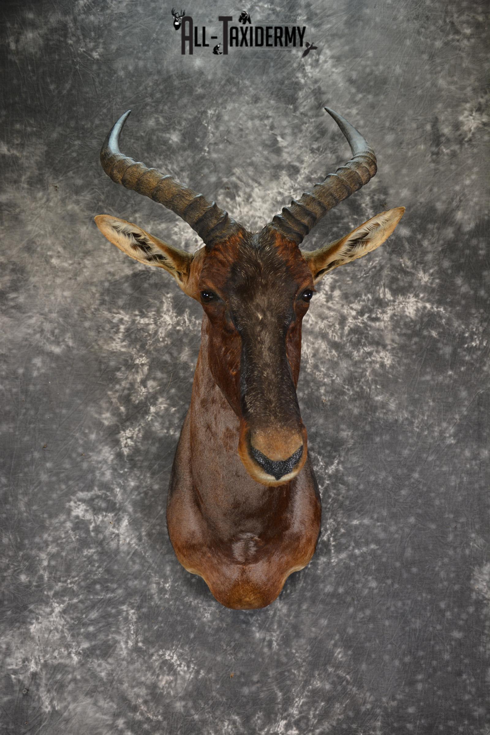 African Tsessebe taxidermy shoulder mount for sale SKU 1923