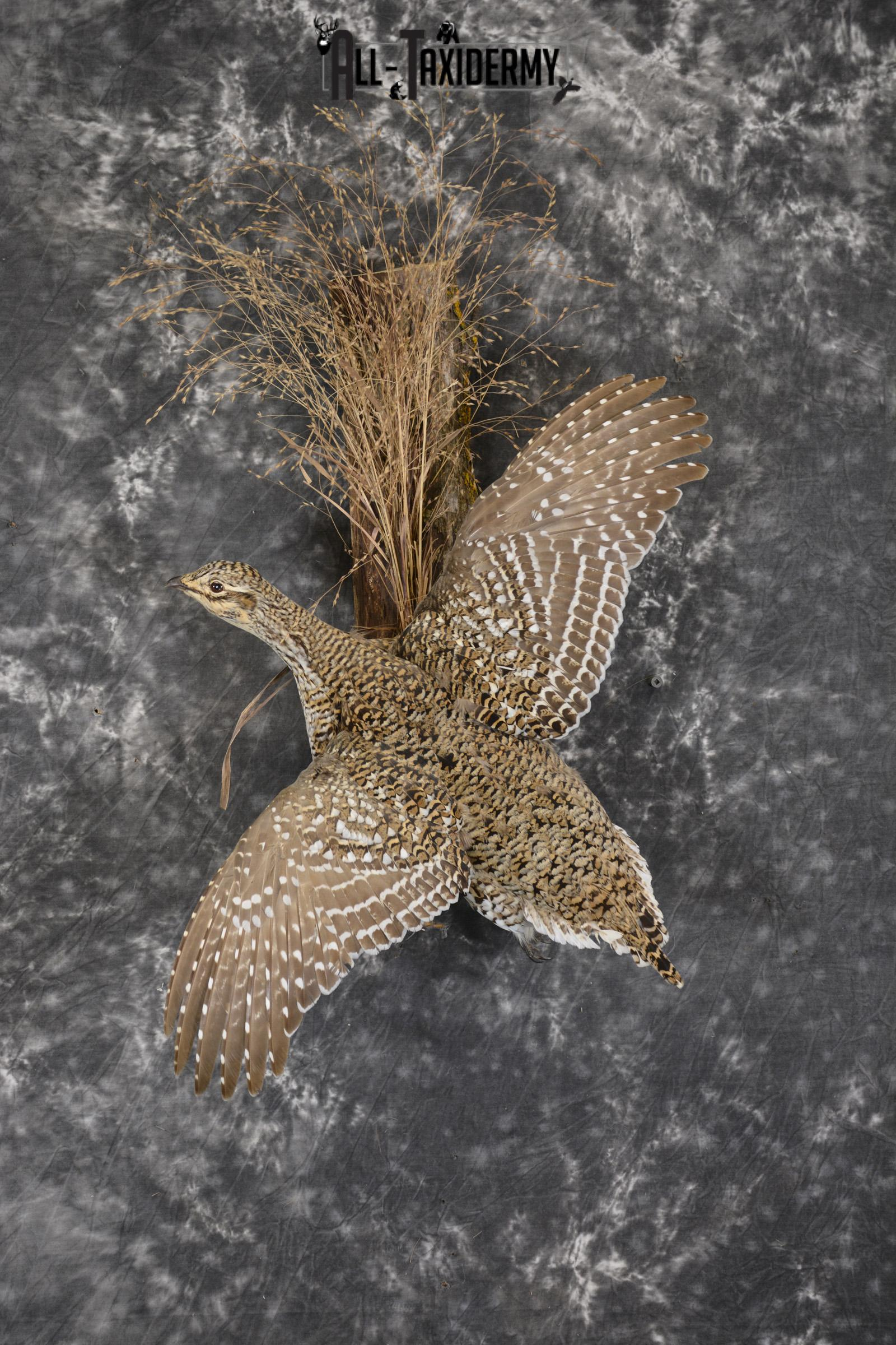 Ruffed Grouse taxidermy mount for sale SKU 1927