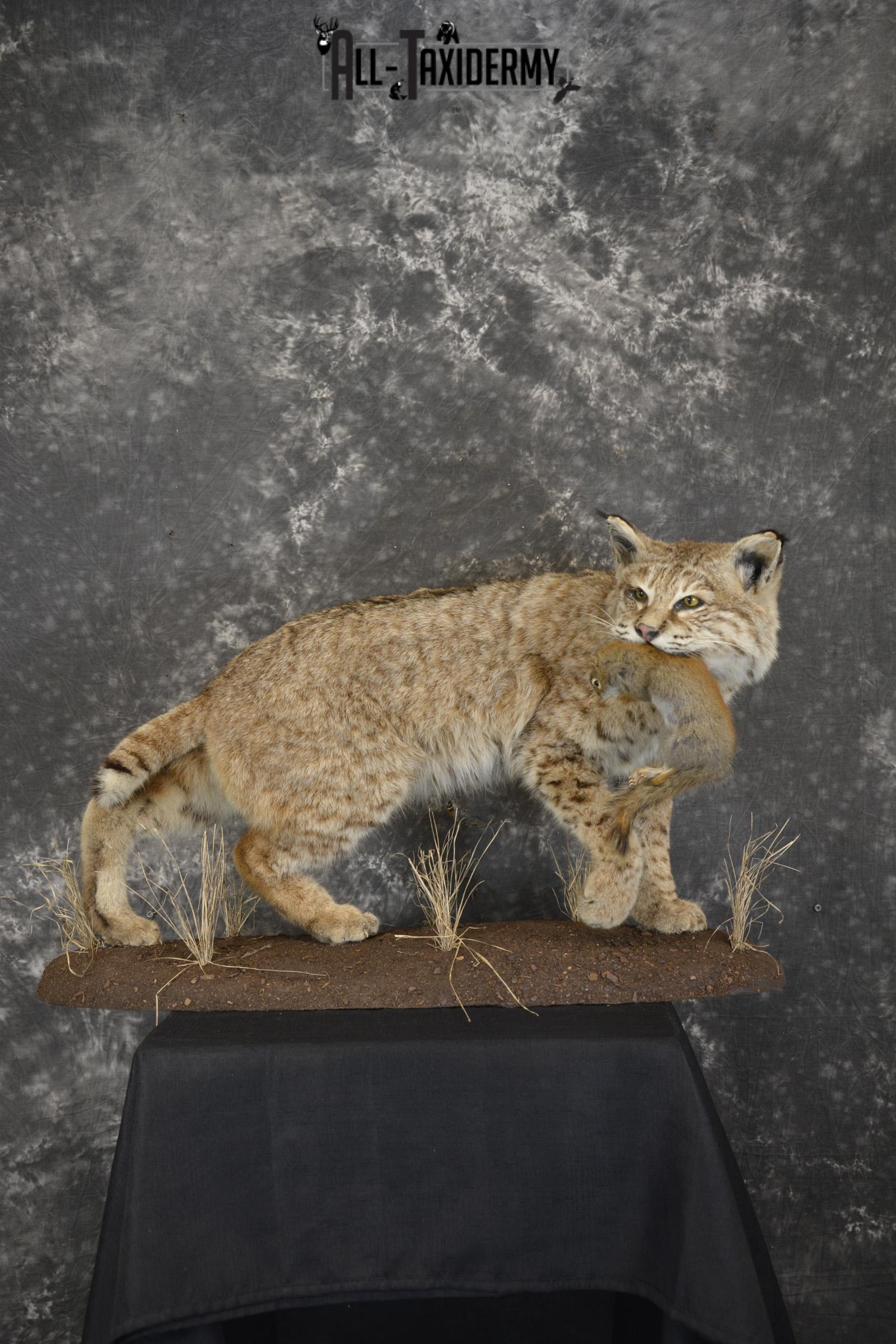 Bobcat with Red Squirrel in mouth taxidermy mount for sale SKU 1906