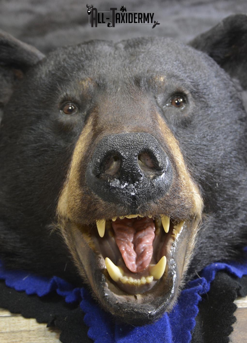 Black Bear taxidermy rug for sale SKU 1925