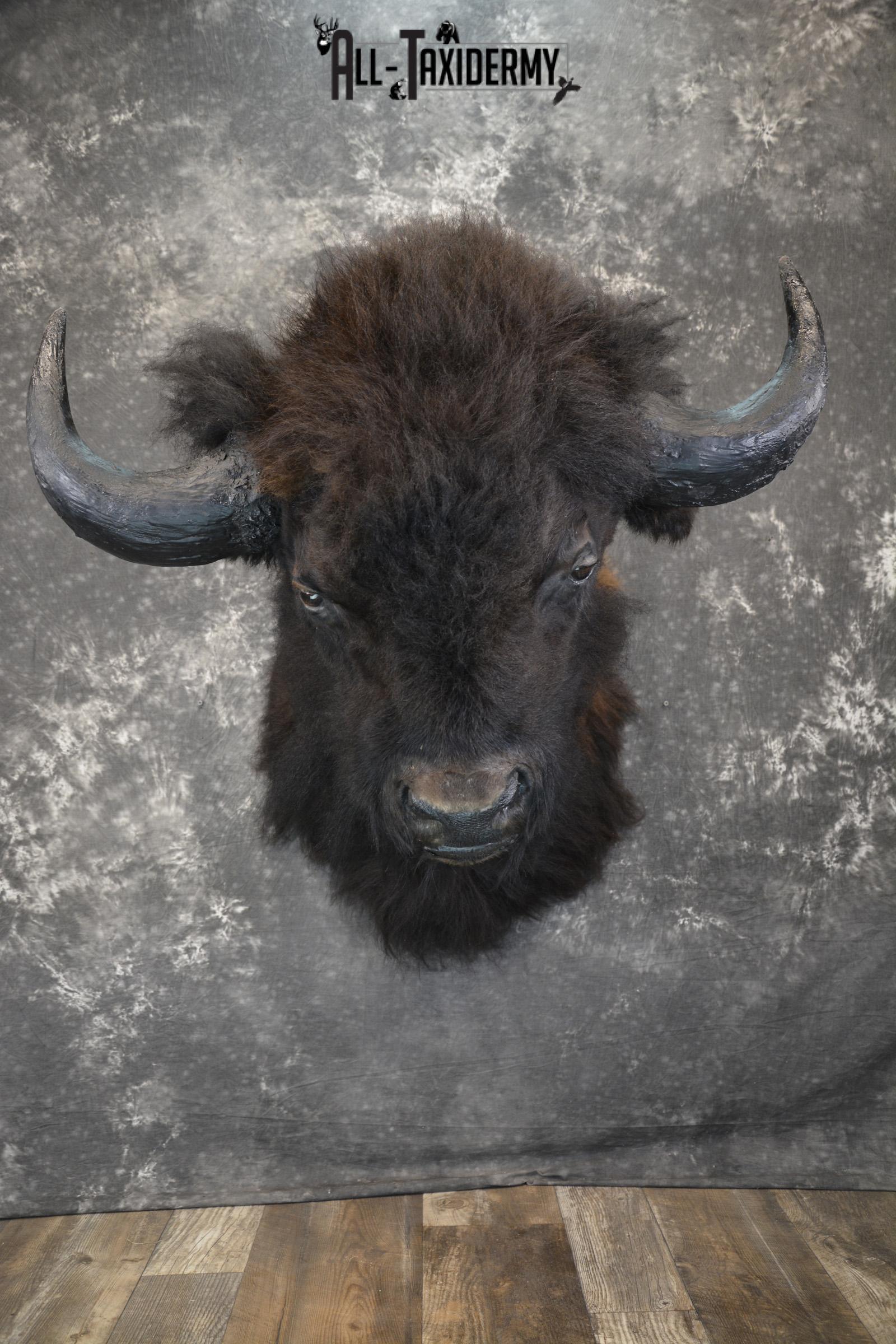 Bison taxidermy shoulder mount for sale SKU 1884
