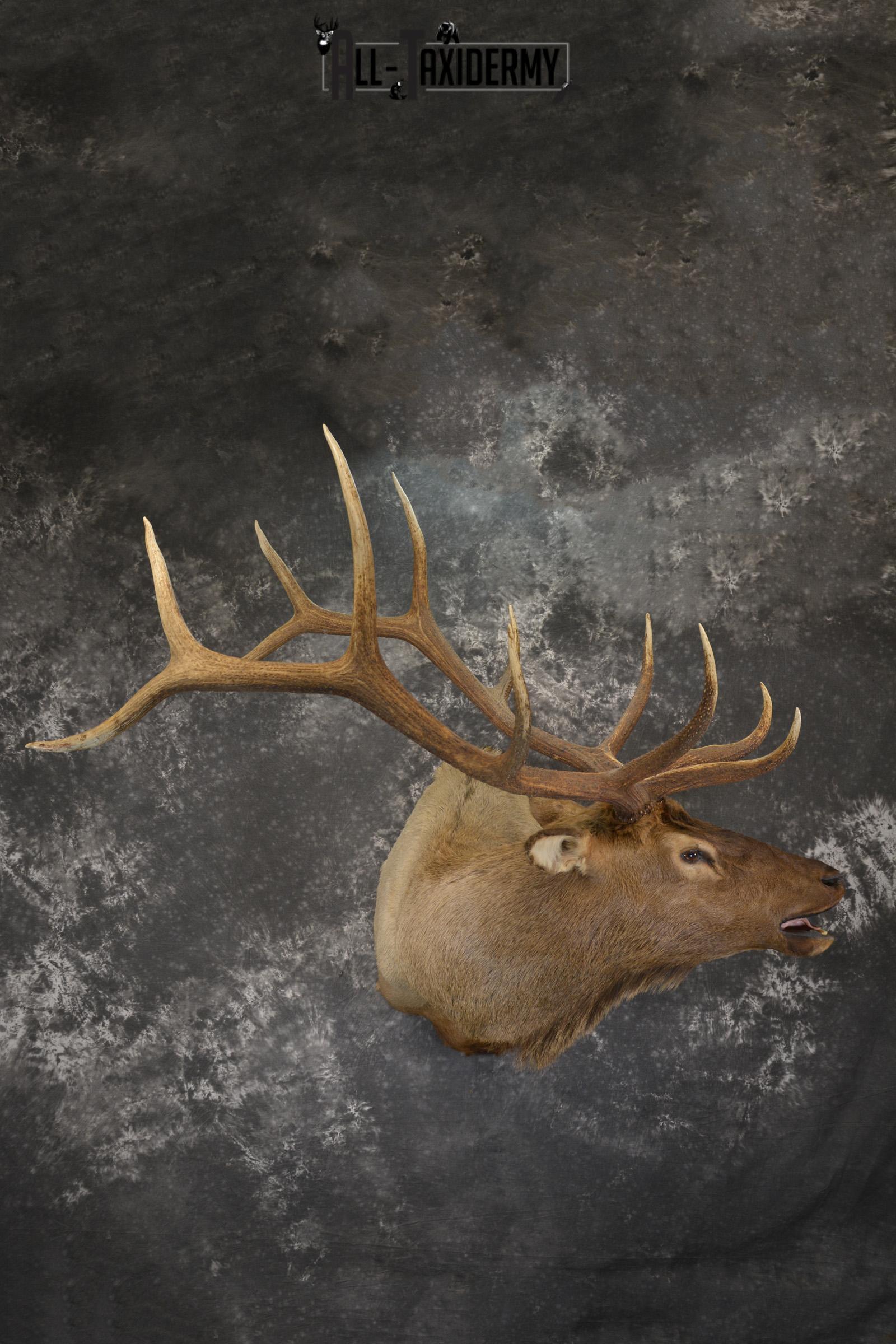 Bugling Bull Elk taxidermy shoulder ount for sale SKU 1890