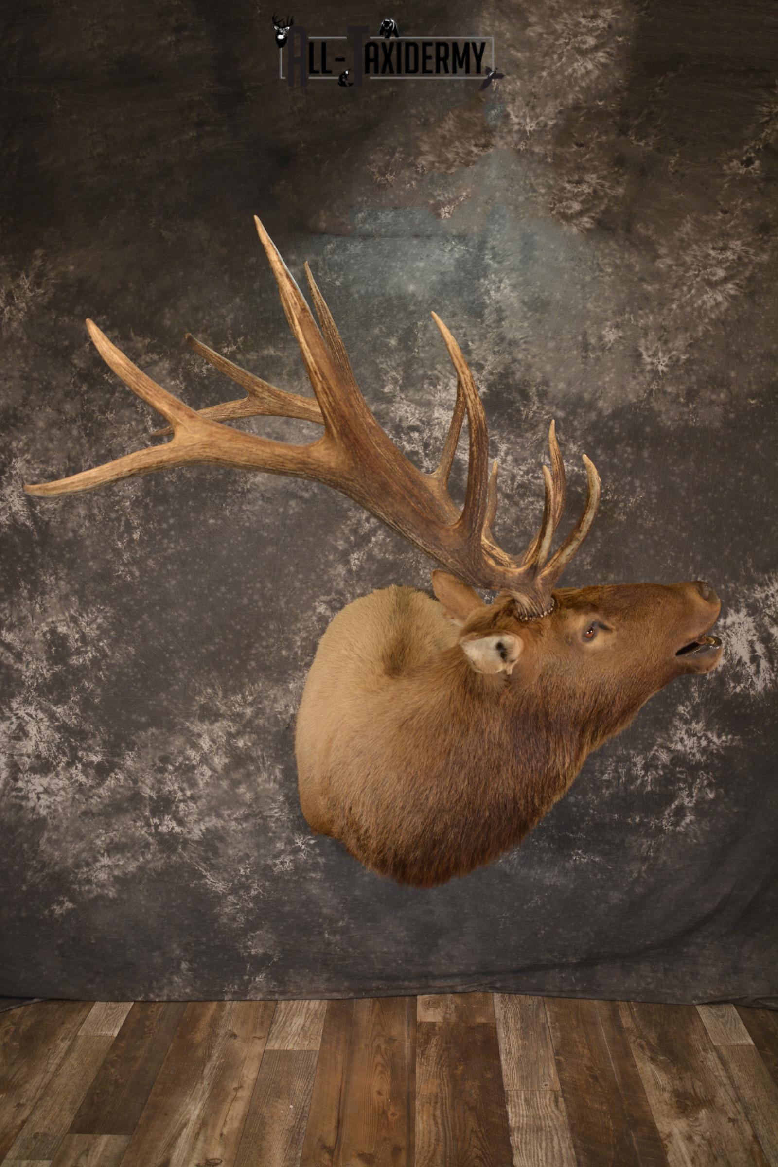 Bugling 7×6 Bull Elk taxidermy shoulder ount for sale SKU 1891