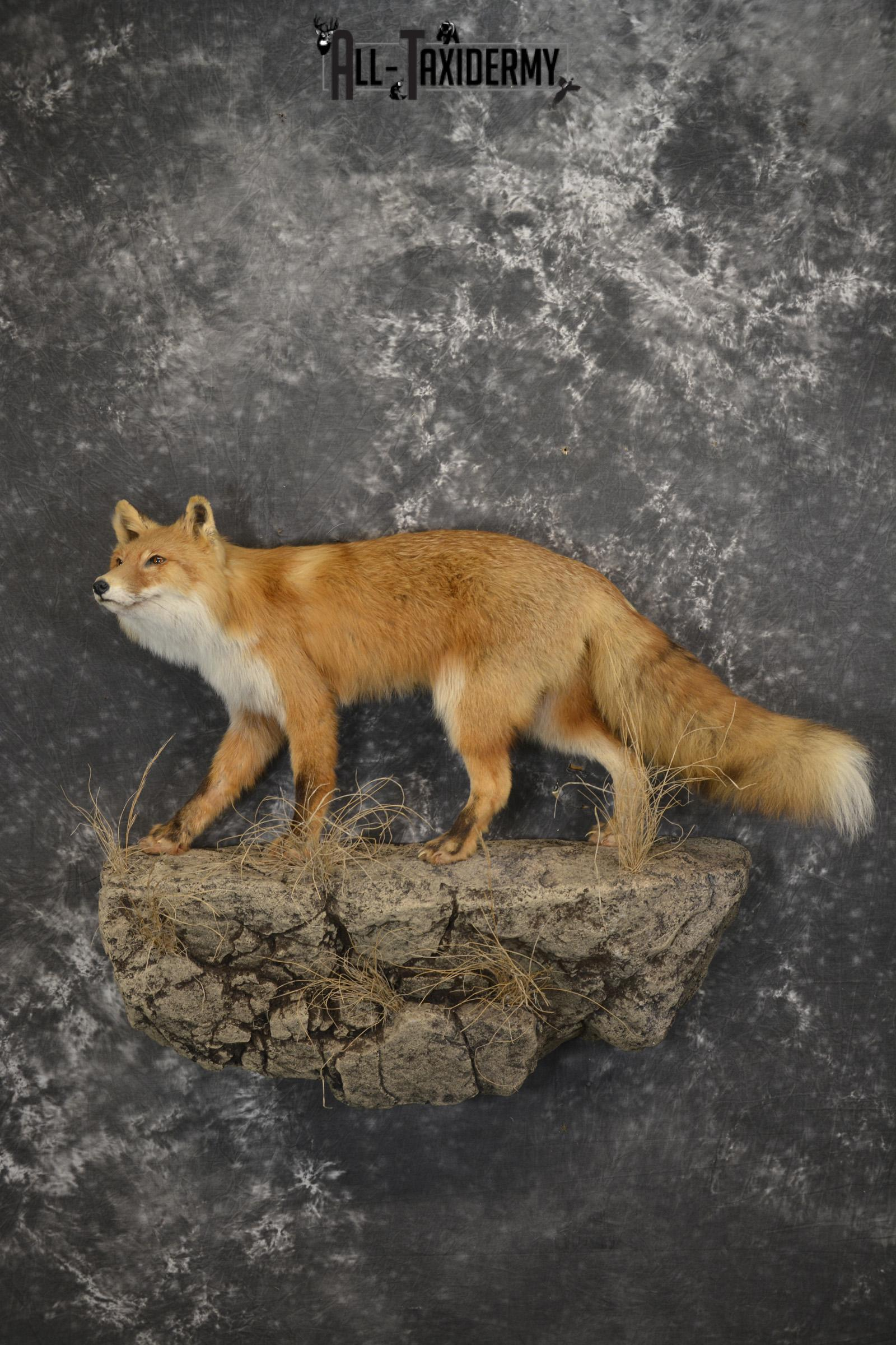 Red Fox Taxidermy mount for sale SKU 1903