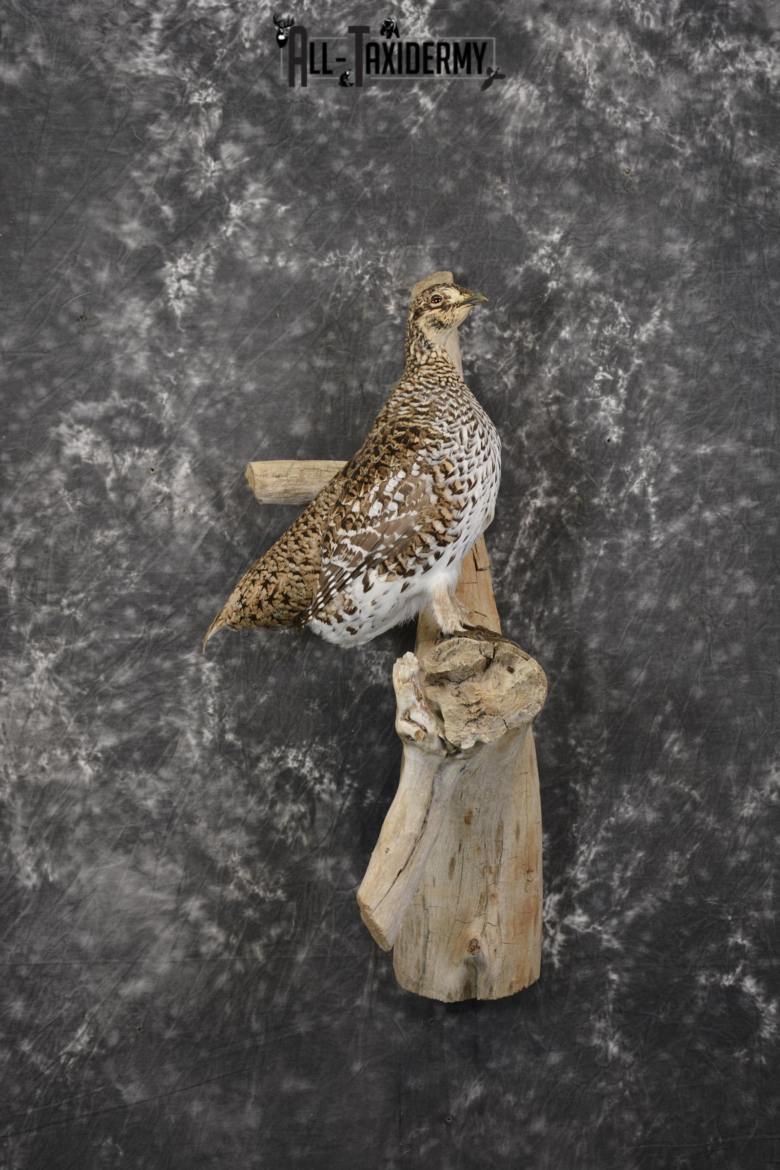 Sharptail Grouse taxidermy mount for sale SKU 1964