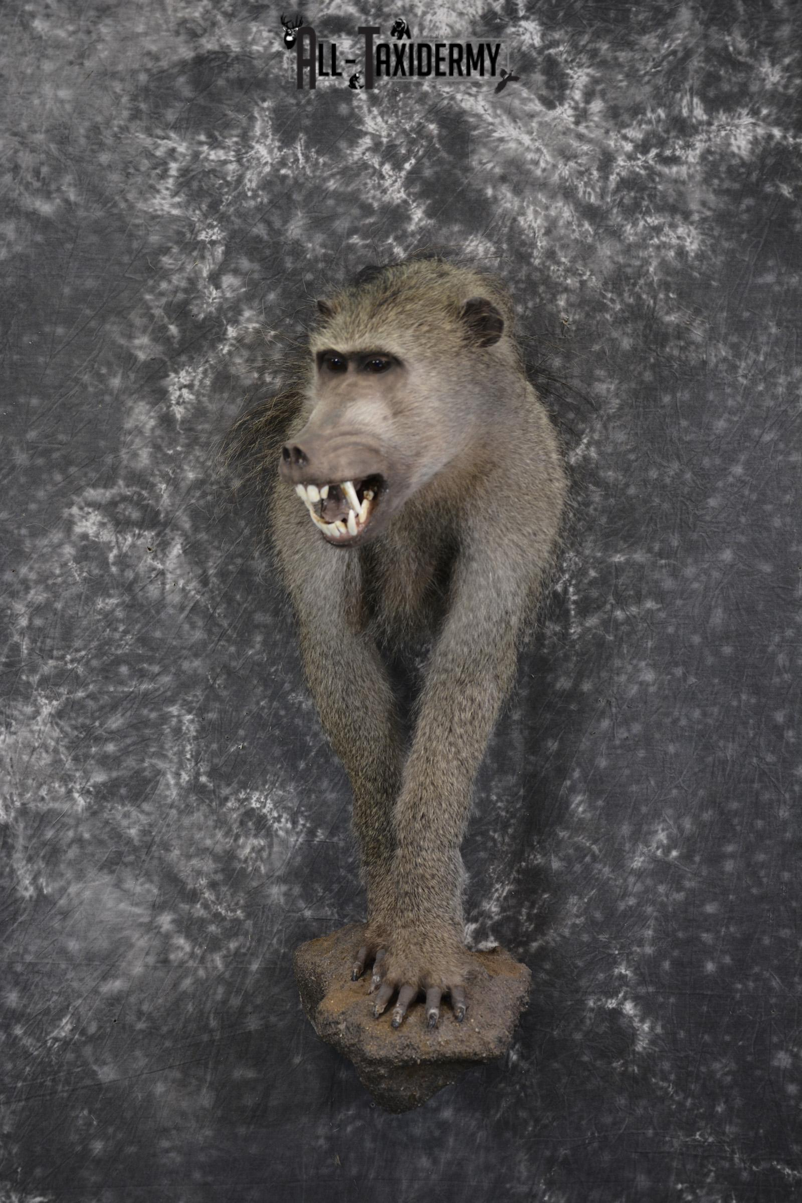 1/2 body African Chacma Baboon taxidermy mount for sale SKU 1970