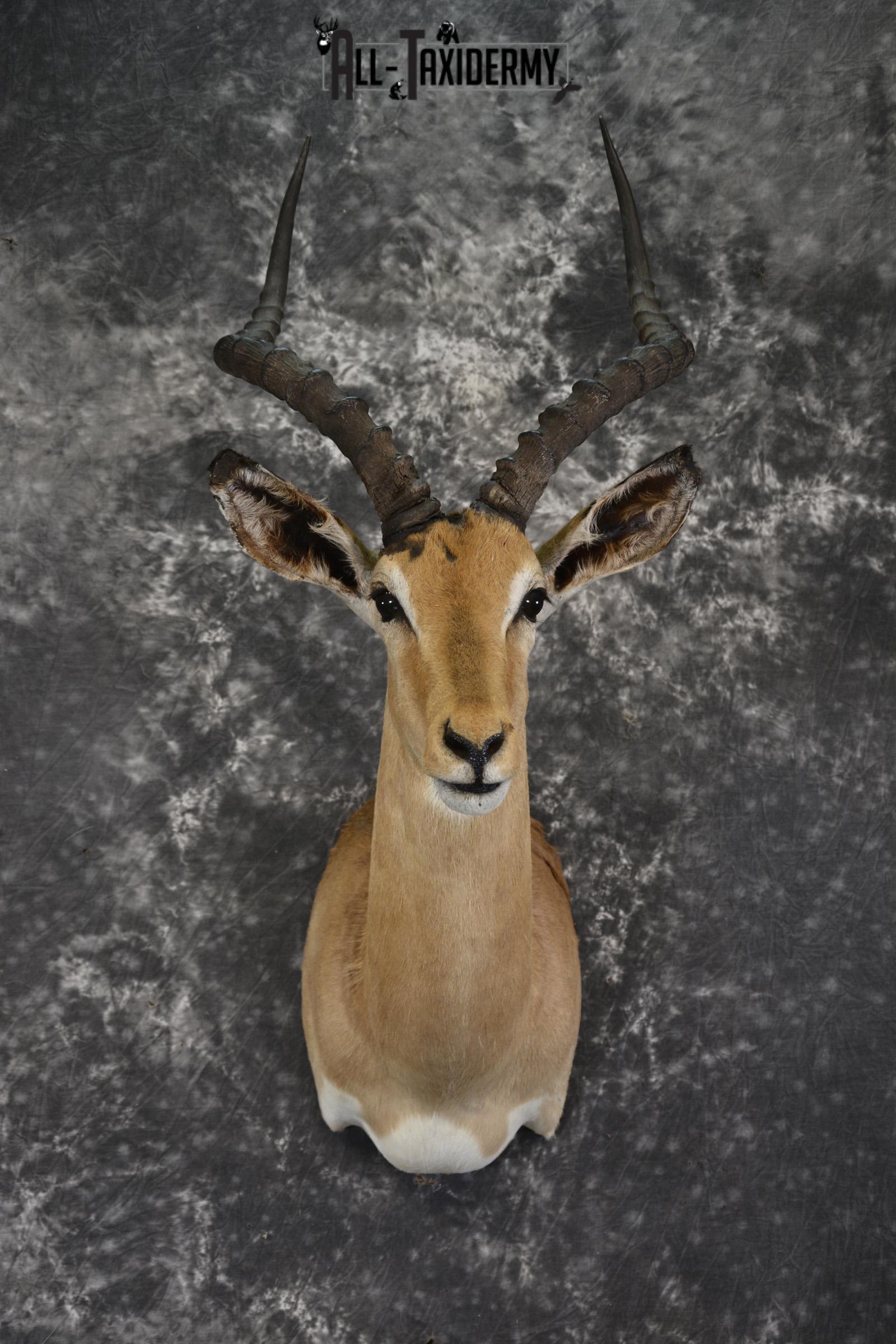 African Impala Taxidermy Shoulder Mount for sale SKU 1928