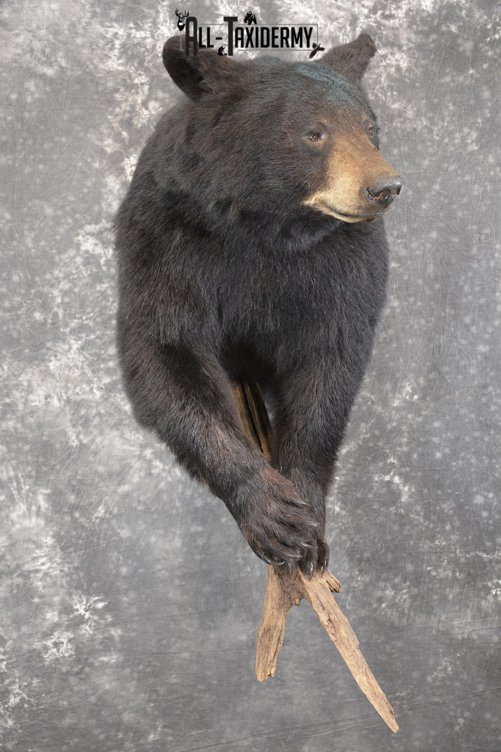 1/2 Black bear taxidermy mount for sale SKU 1998