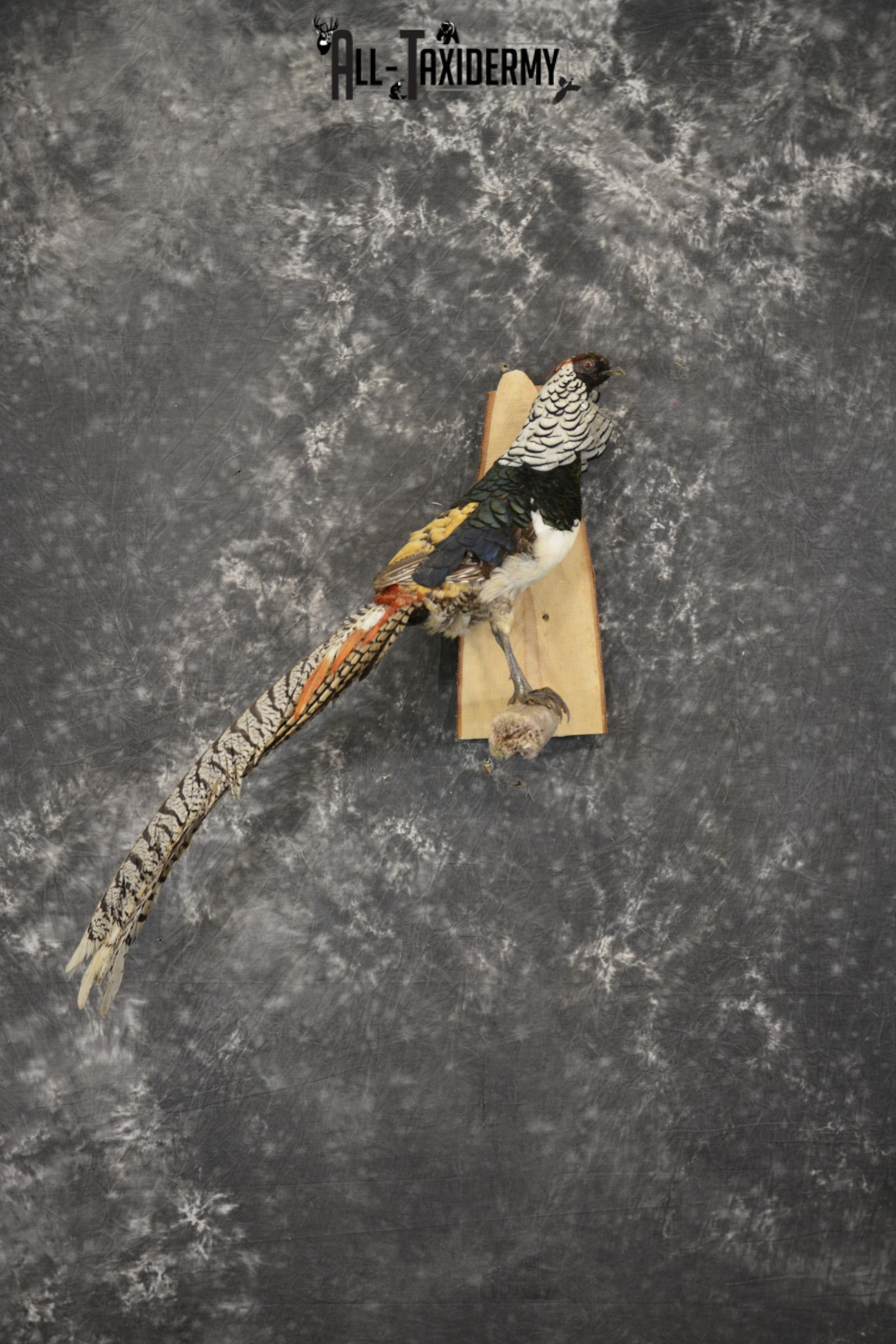 Lady Amherst Pheasant taxidermy mount for sale SKU 1979