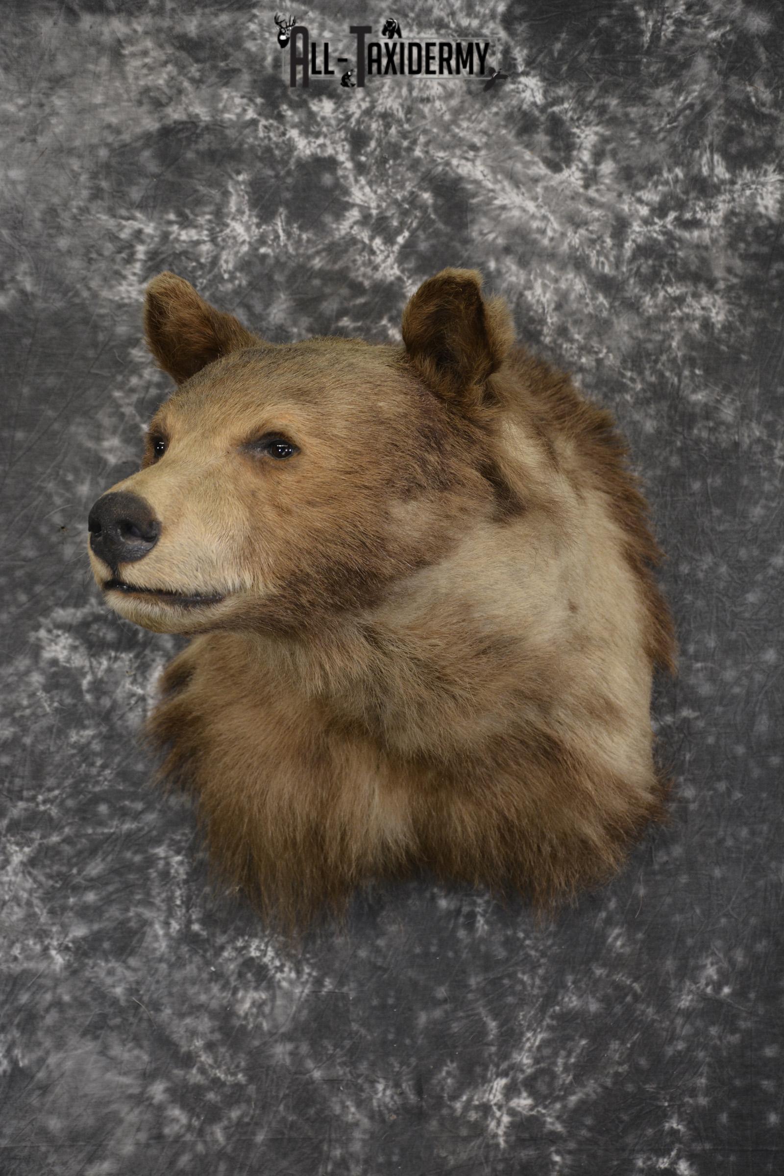 Blonde Black Bear taxidermy shoulder mount for sale SKU 1962