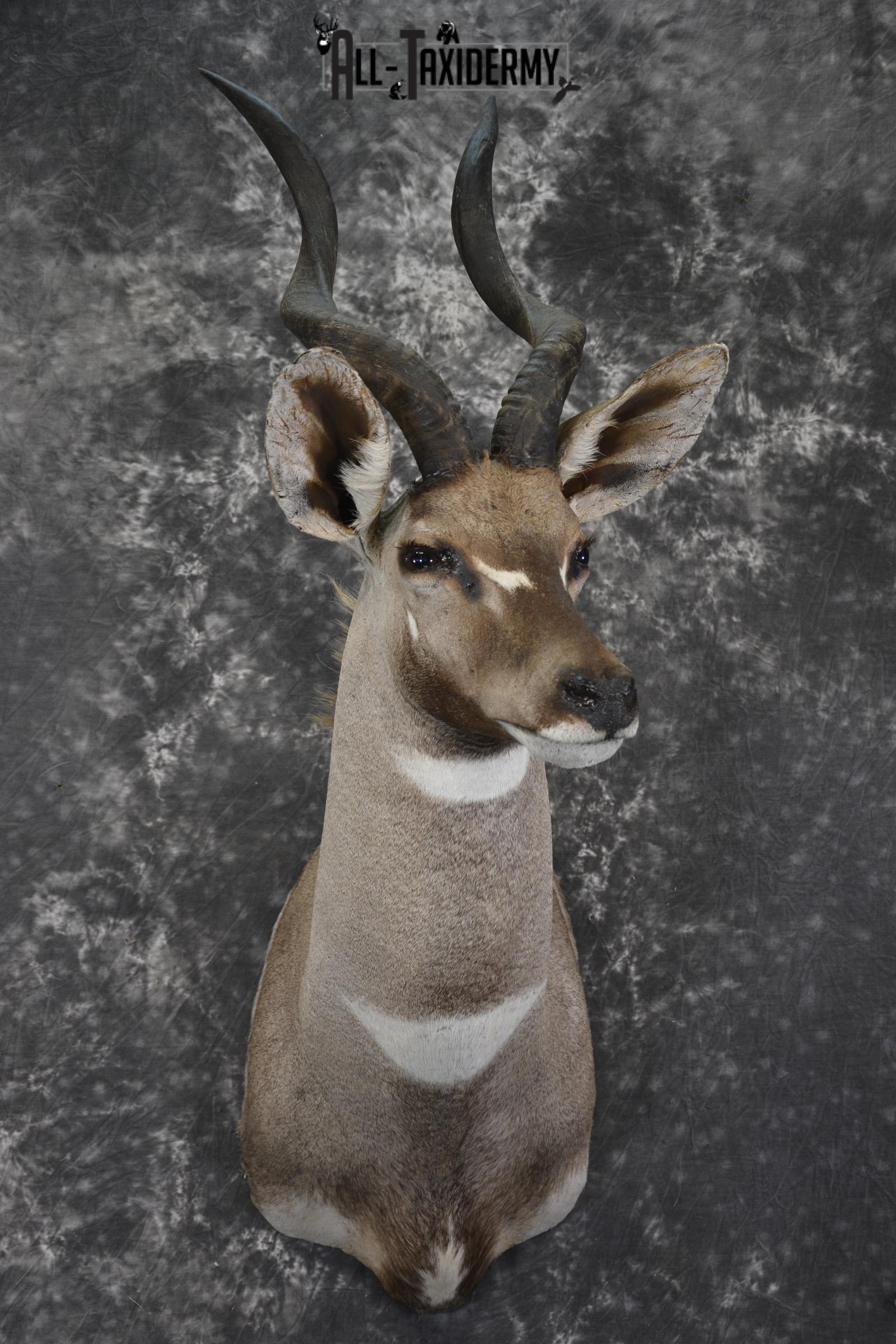 African Lesser Kudu taxidermy shoulder mount for sale SKU 1935