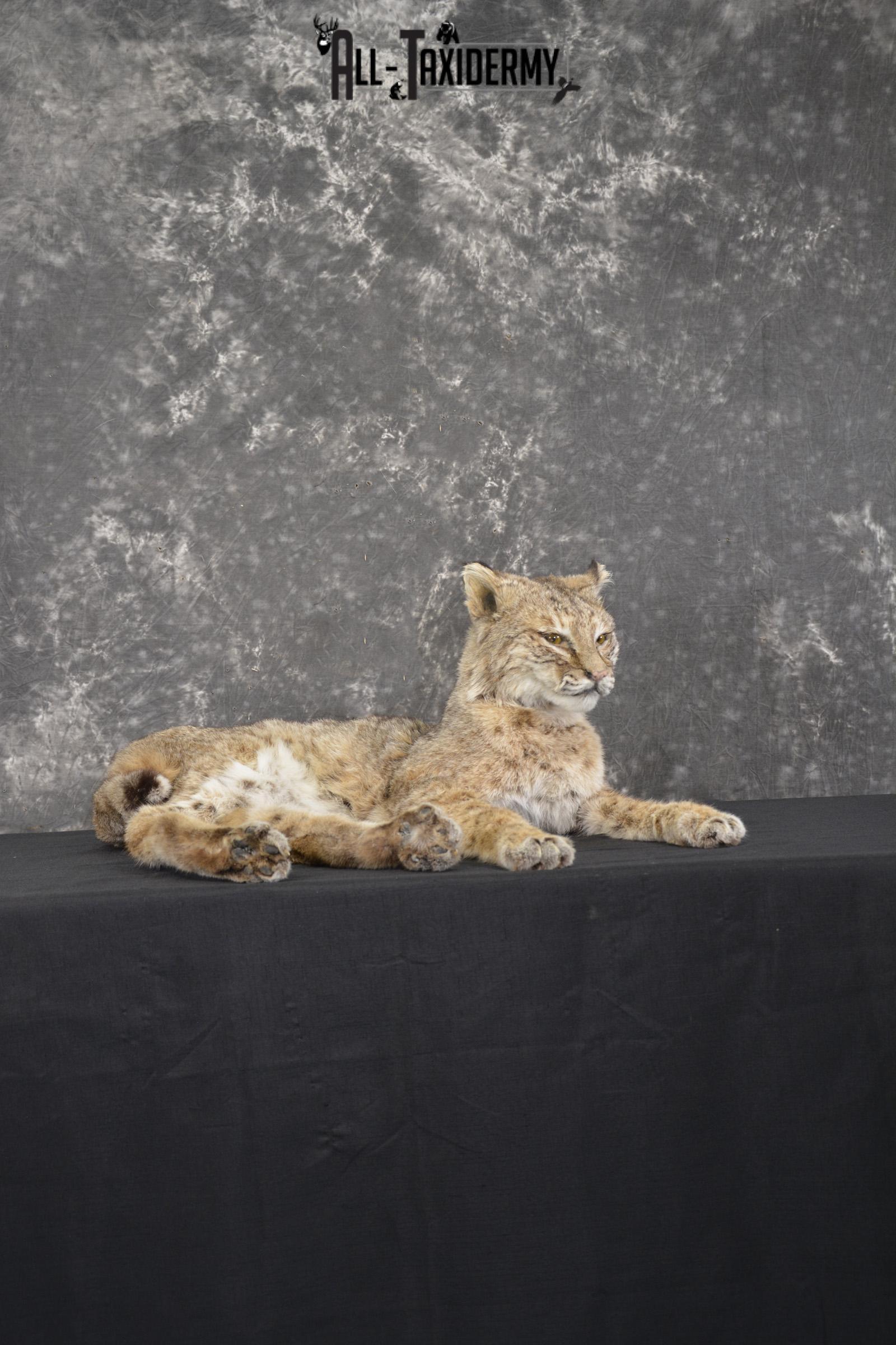 Full body Bobcat taxidermy mount for sale SKU 1966