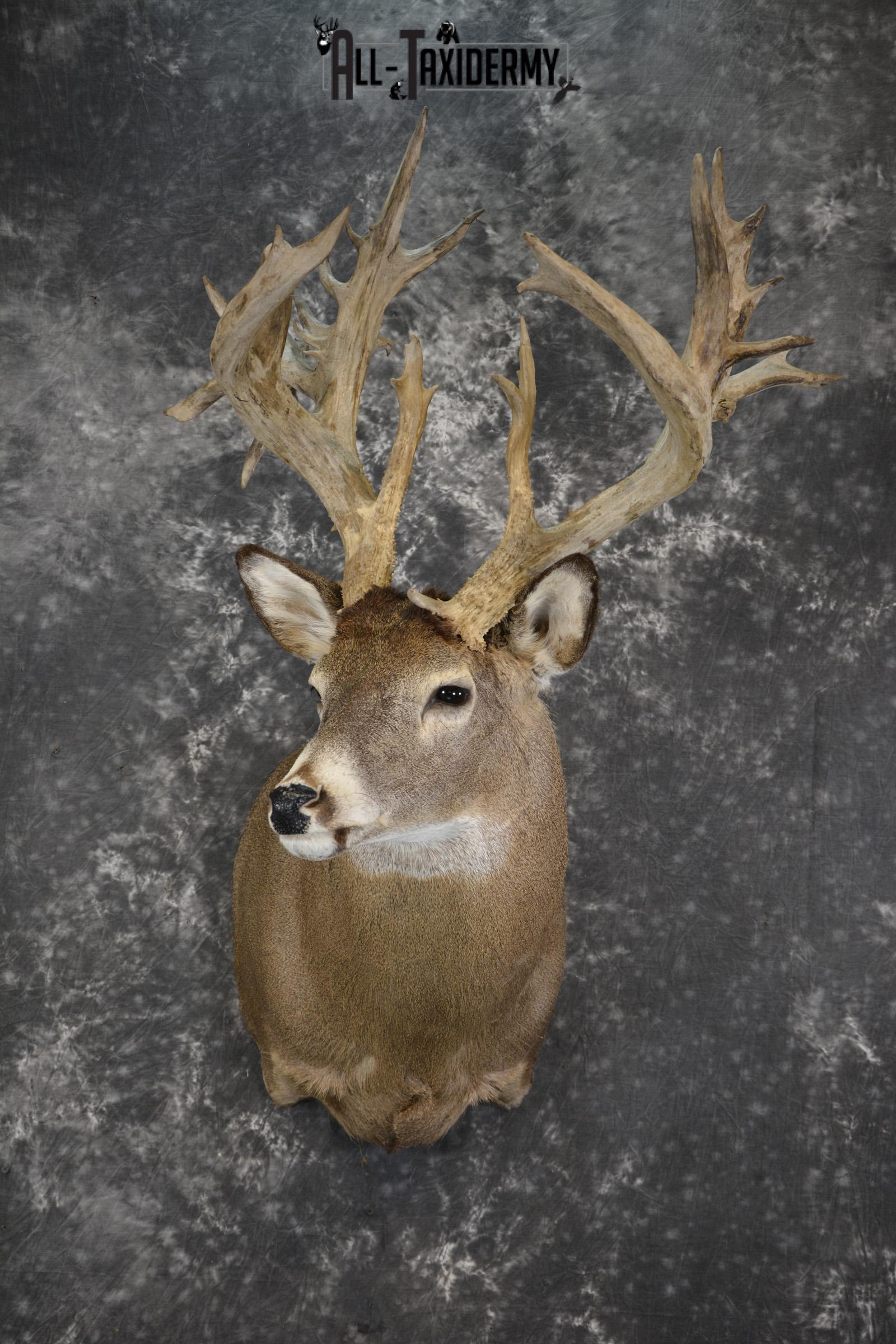 Whitetail deer shoulder taxidermy mount for sale SKU 1981