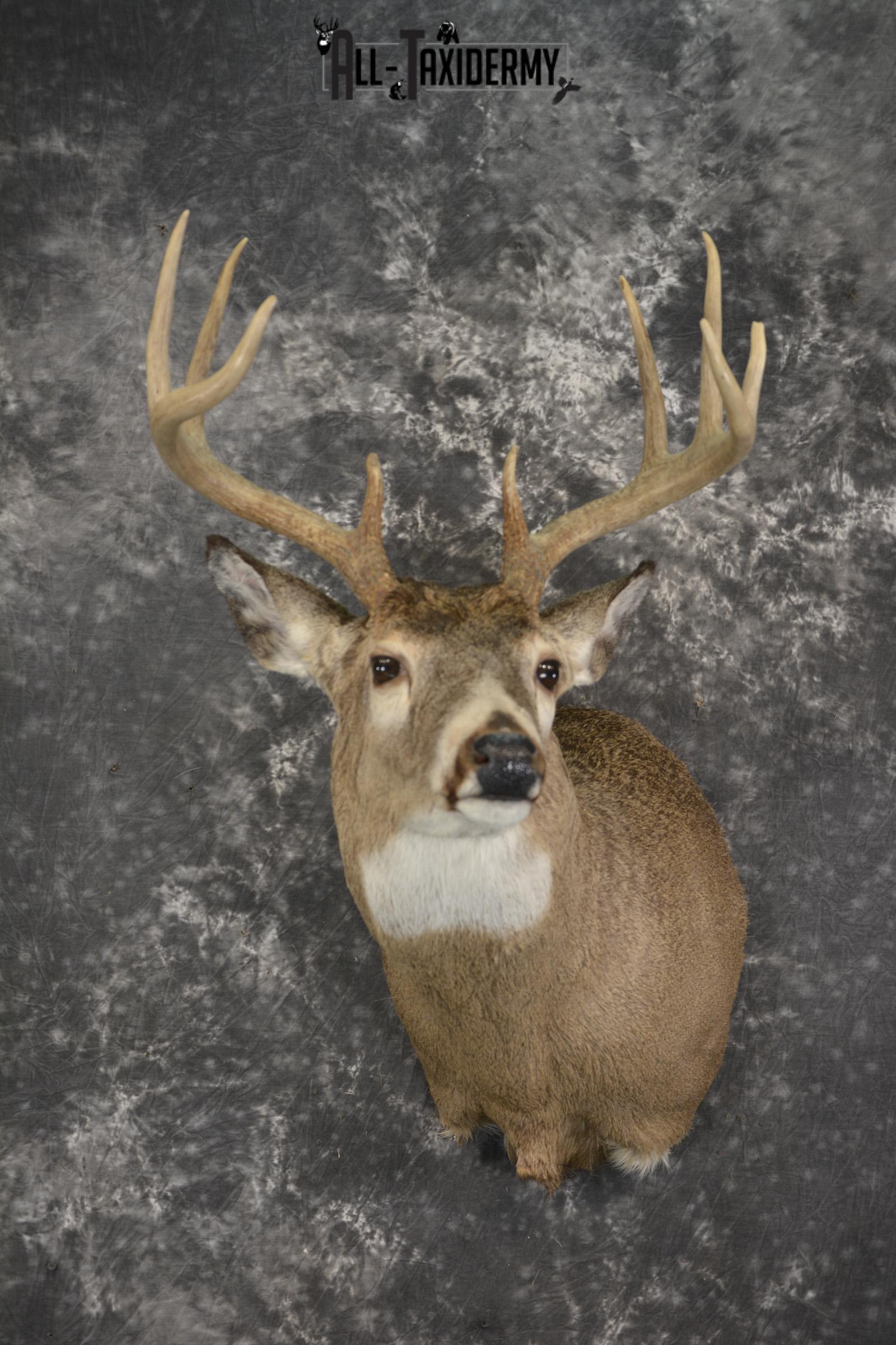 Whitetail deer taxidermy shoulder mount for sale SKU 1941