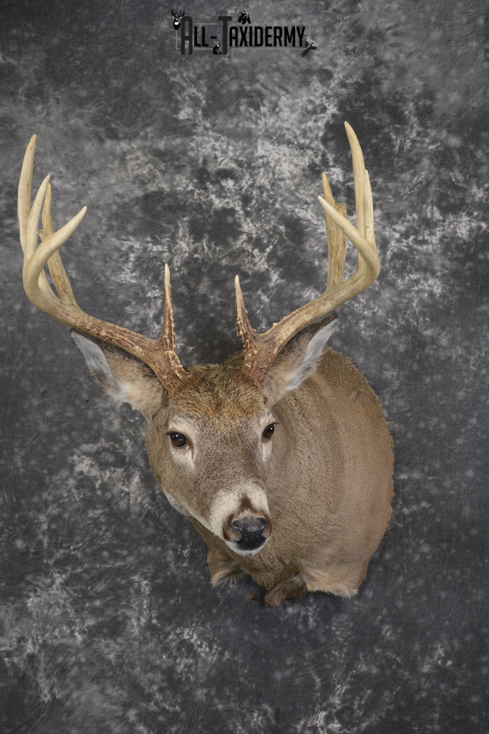 Whitetail deer taxidermy shoulder mount for sale SKU 1940