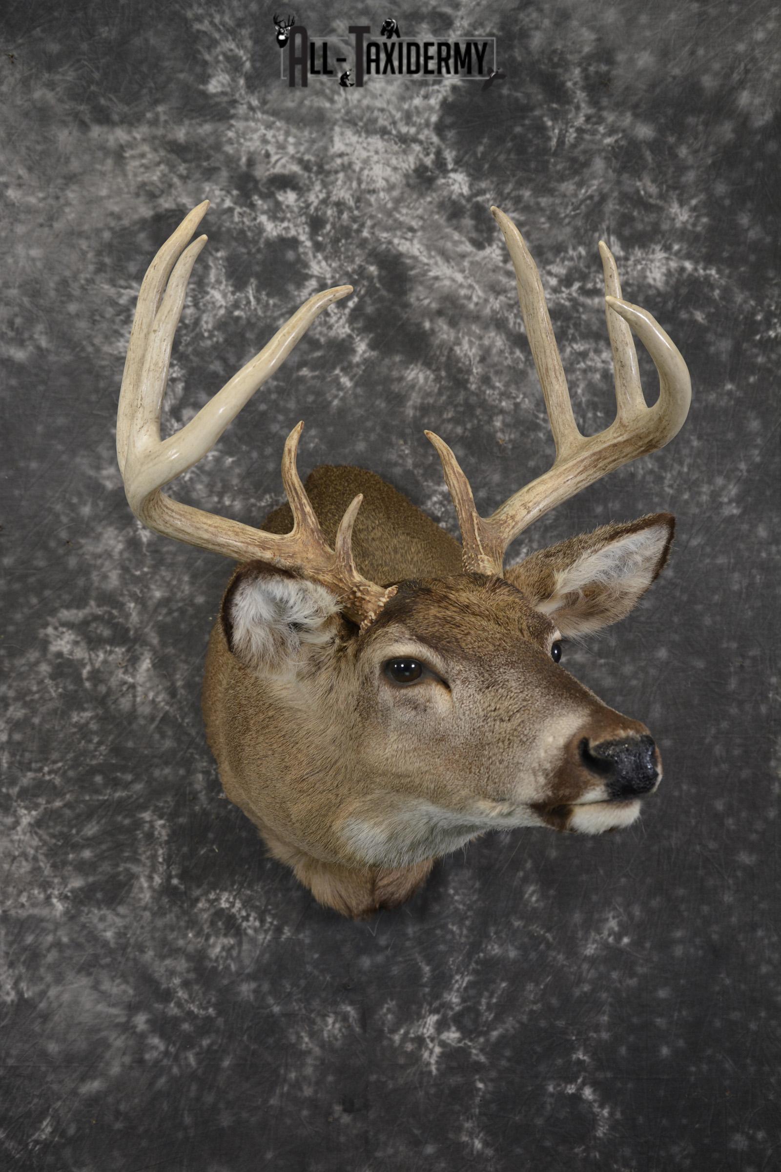 Whitetail deer taxidermy shoulder mount for sale SKU 1942