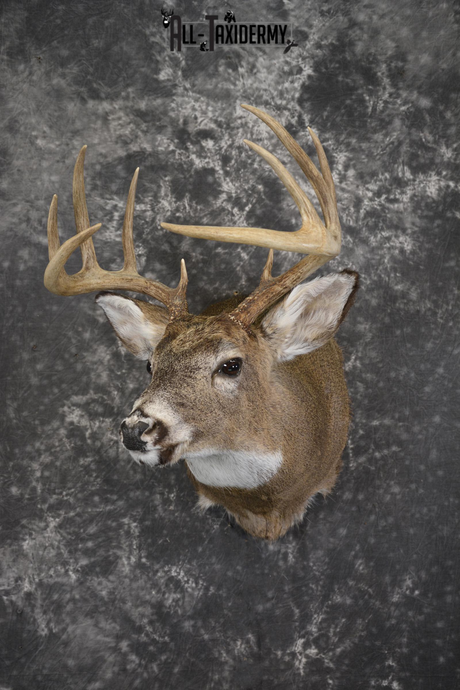 Whitetail deer taxidermy shoulder mount for sale SKU 1943