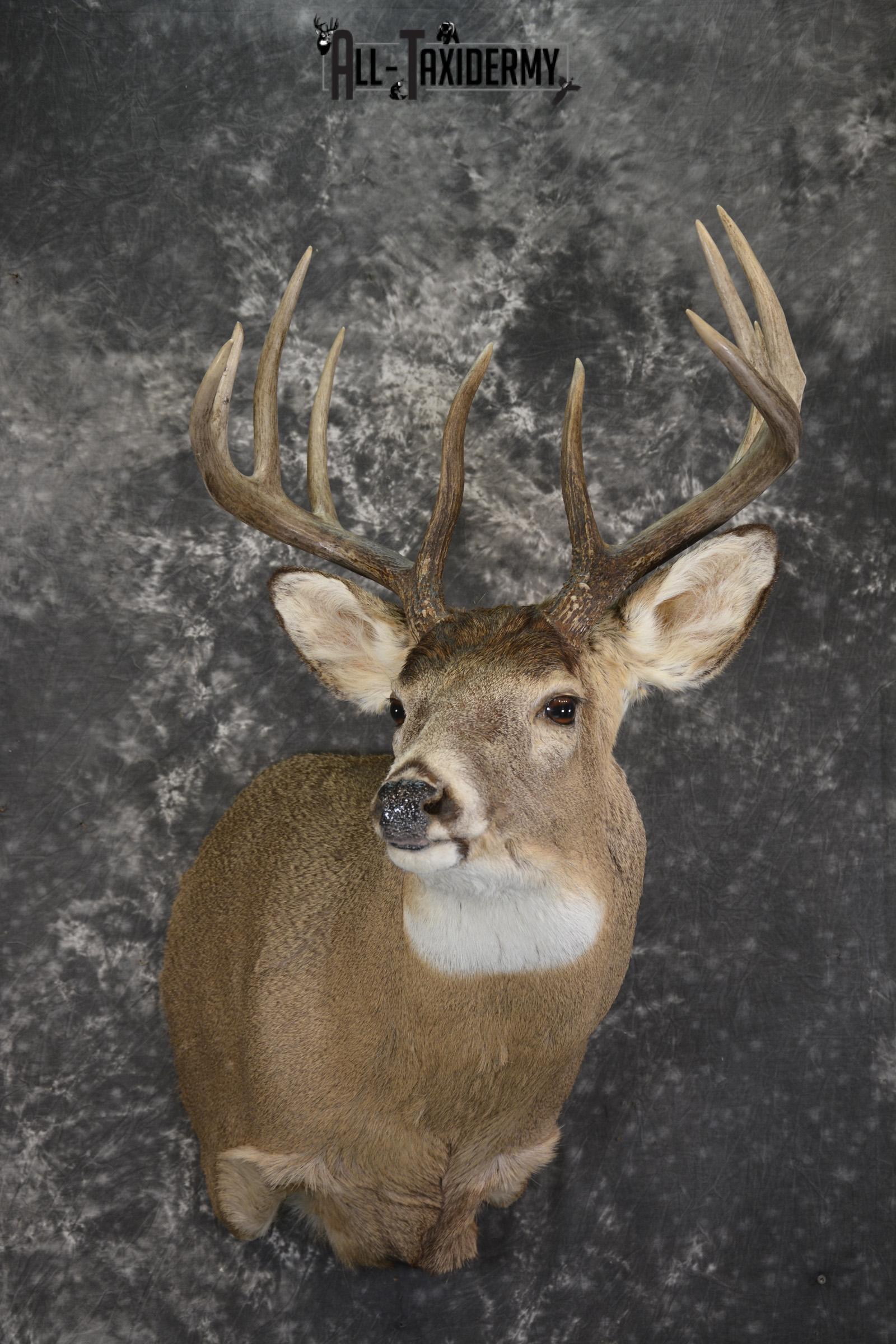 Whitetail deer taxidermy shoulder mount for sale SKU 1944