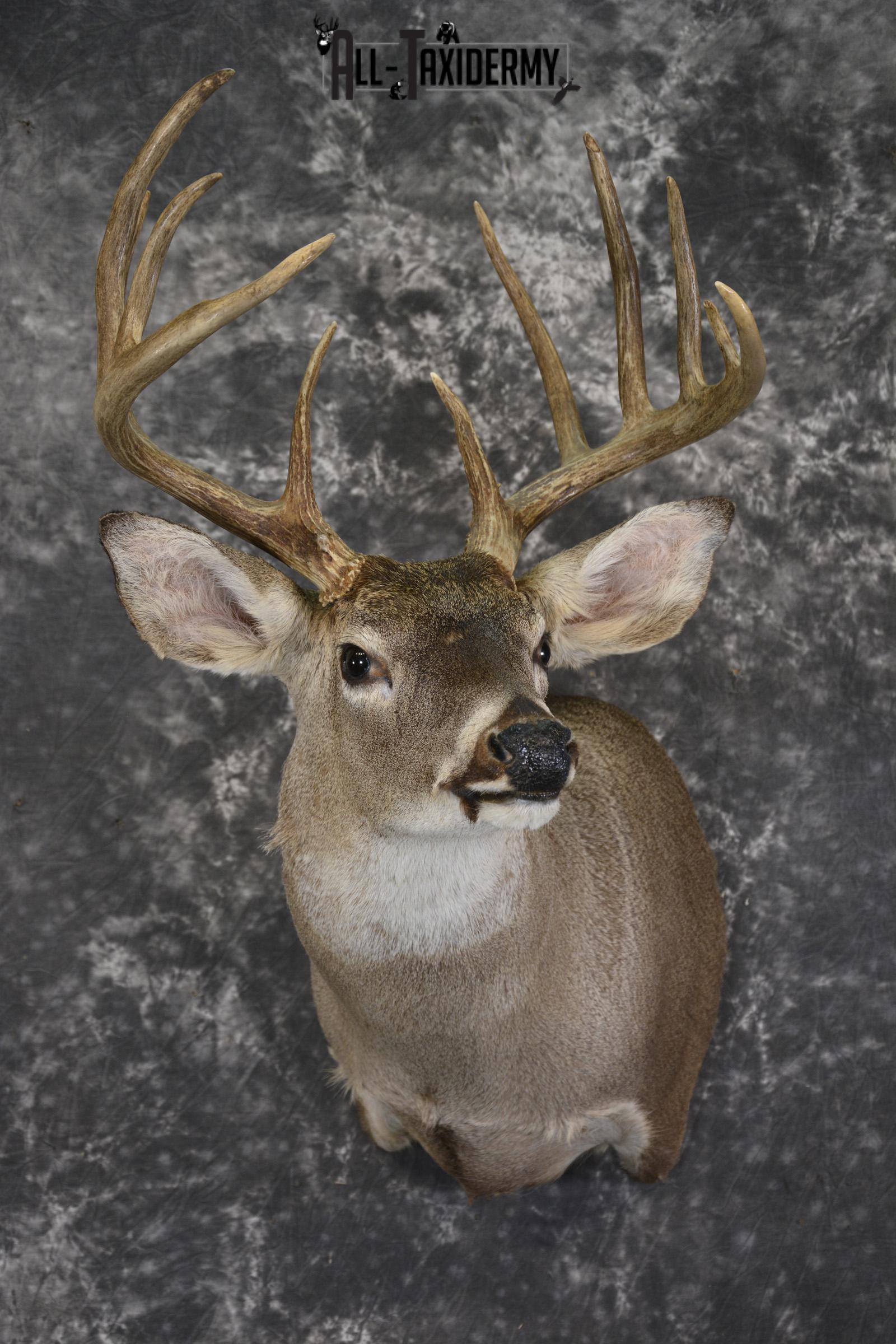 Whitetail deer taxidermy shoulder mount for sale SKU 1960
