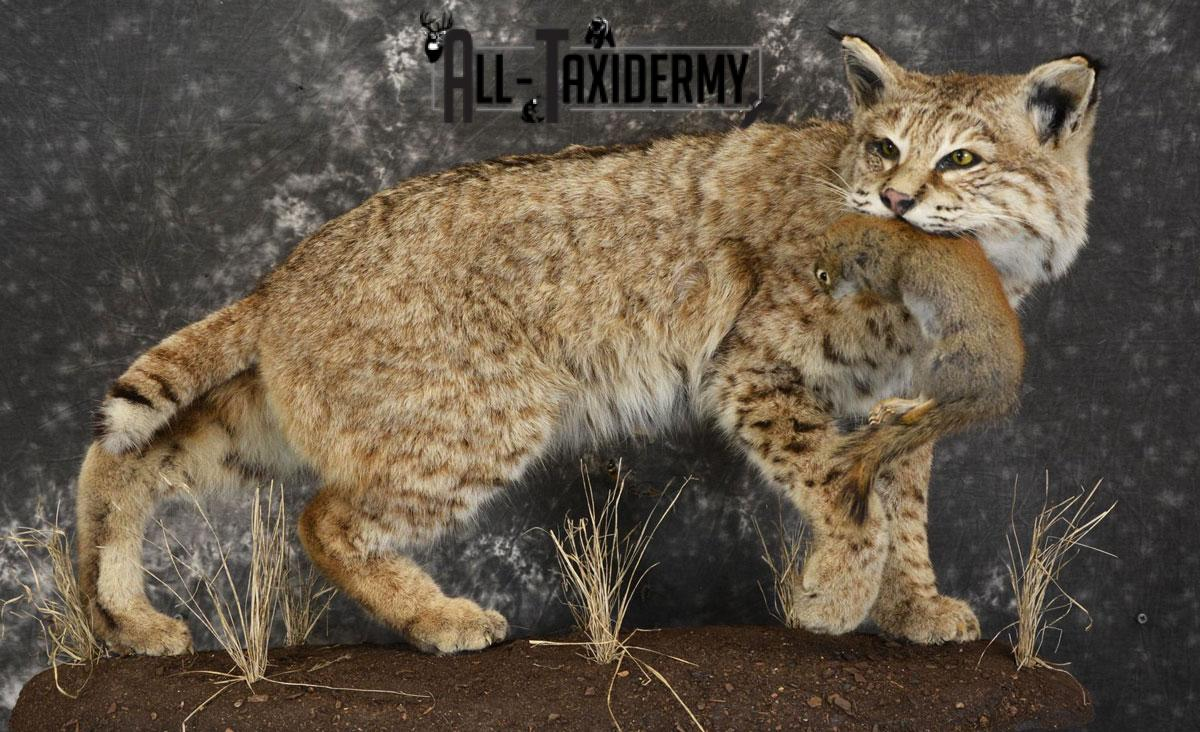 Bobcat Taxidermy Cost, Pictured with Red Squirrel Prey