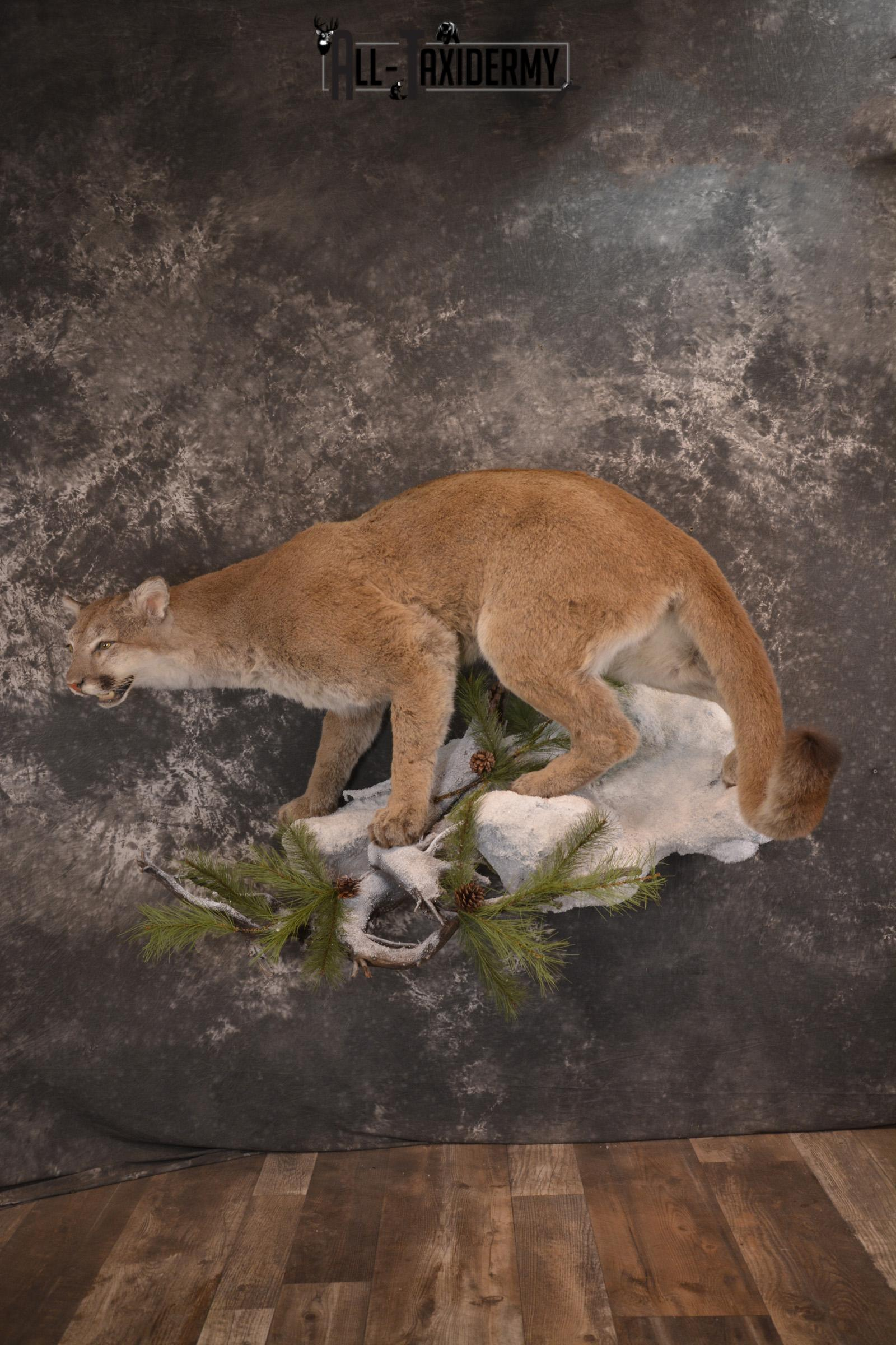 Full body cougar taxidermy mount for sale SKU 1991