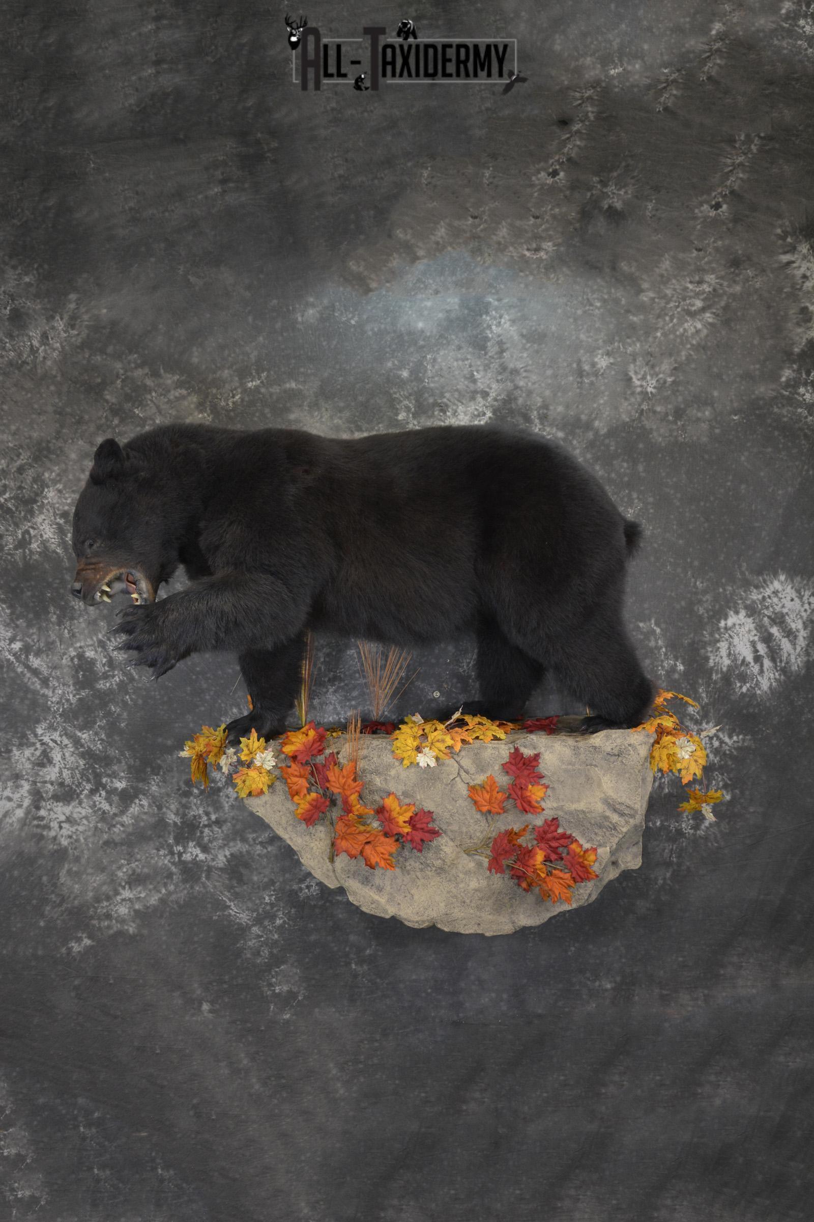 Full Body aggresive black bear taxidermy mount SKU 2004